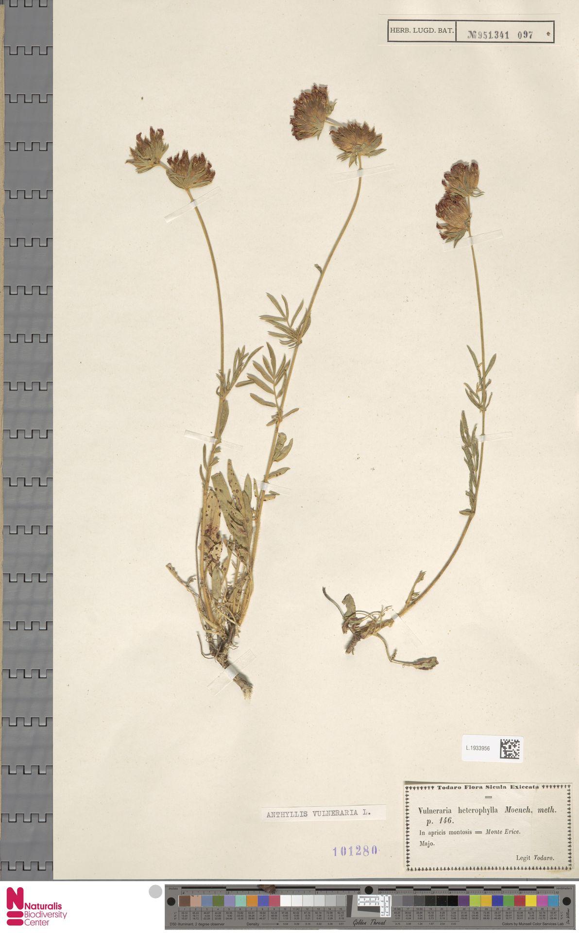 L.1933956   Anthyllis vulneraria L.
