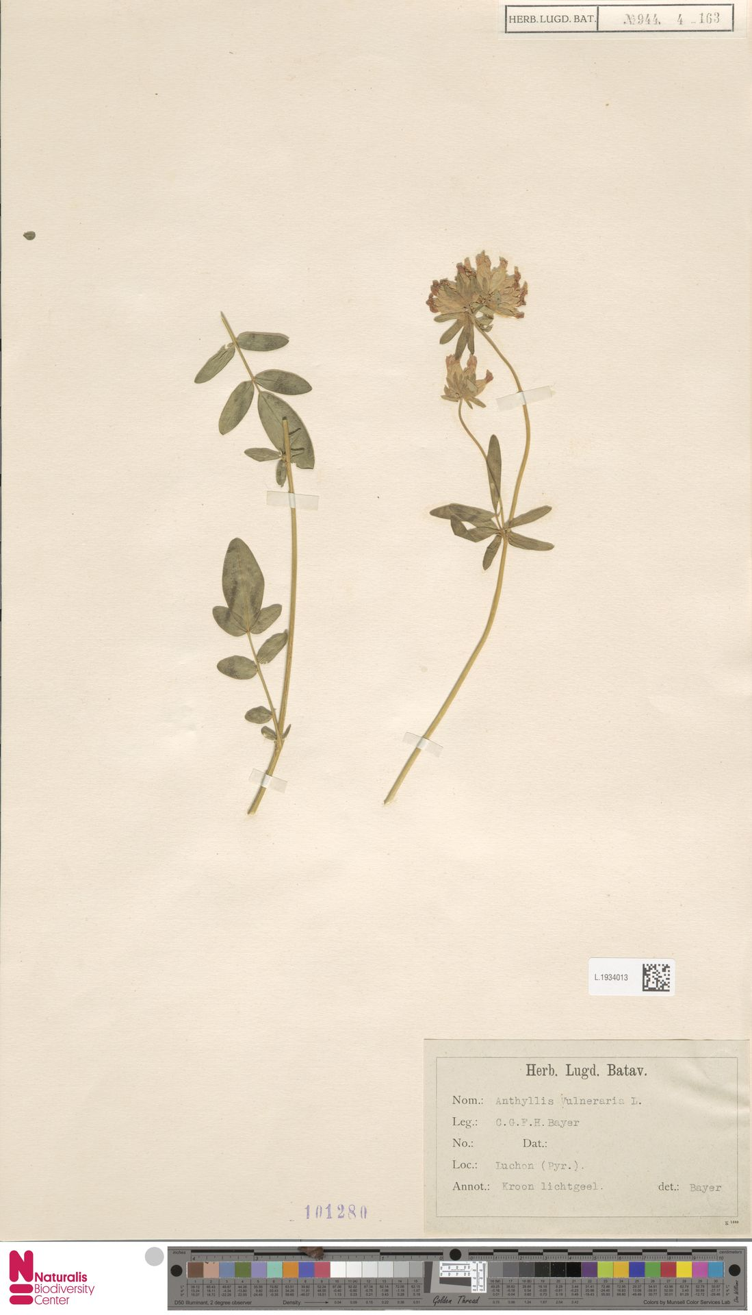 L.1934013   Anthyllis vulneraria L.