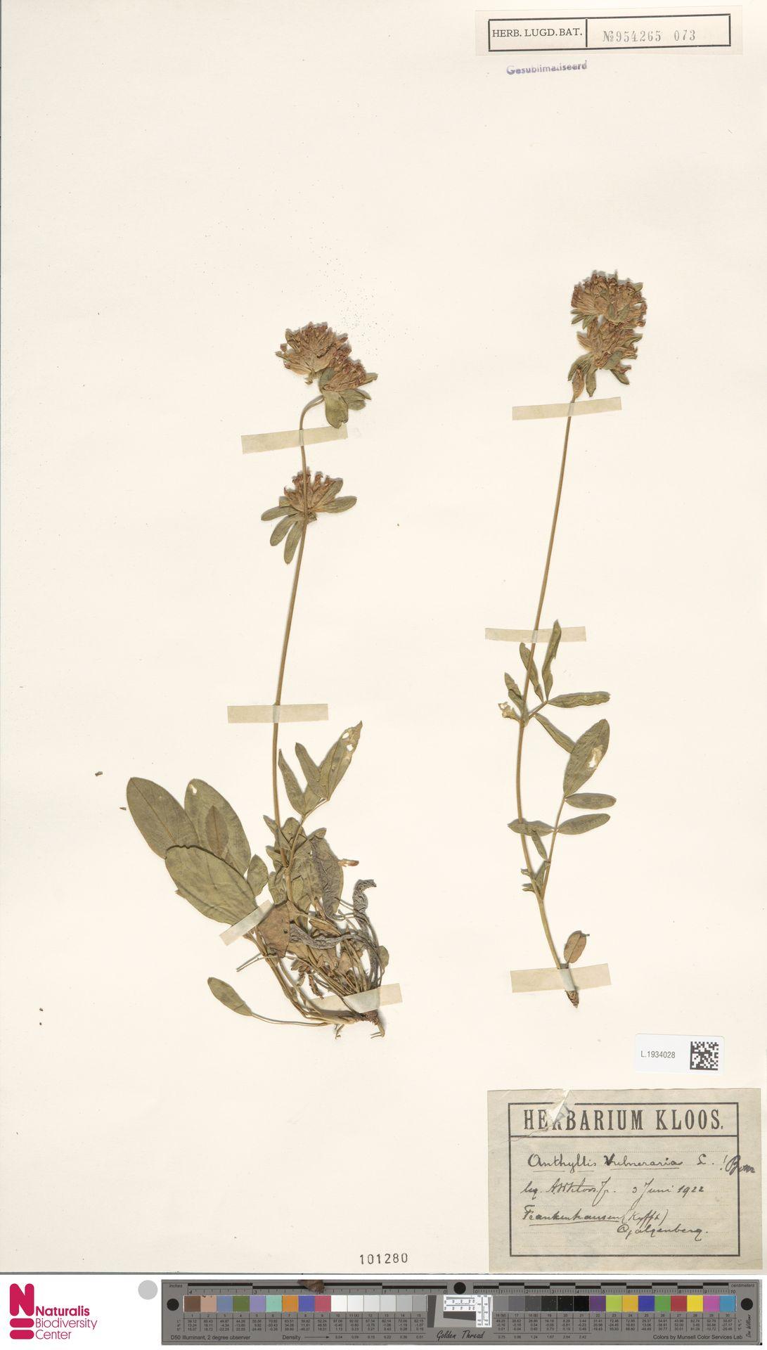 L.1934028   Anthyllis vulneraria L.