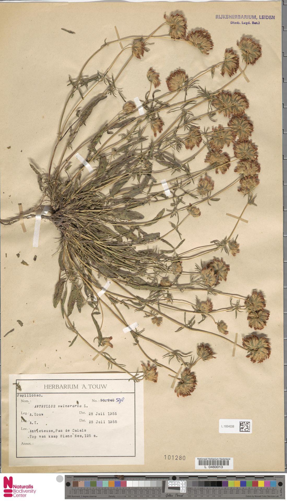 L.1934038 | Anthyllis vulneraria L.