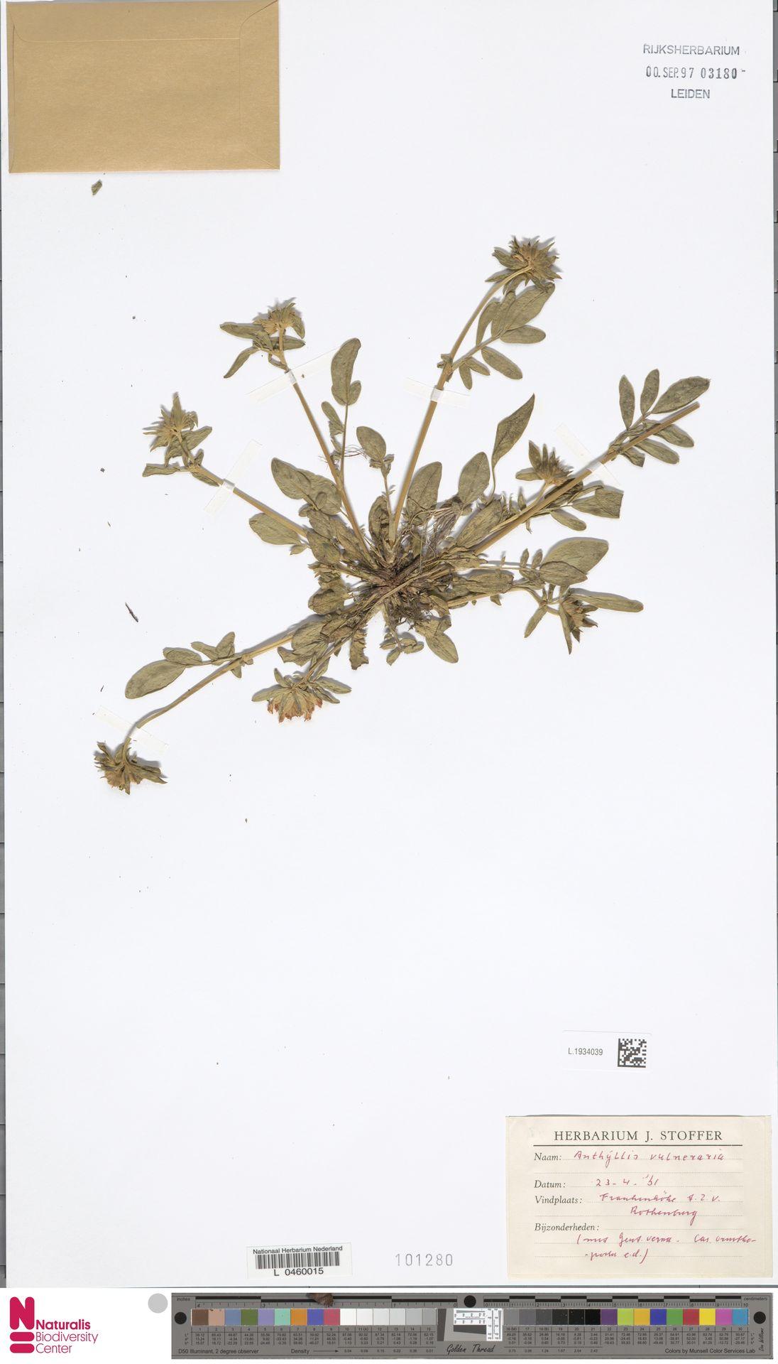 L.1934039   Anthyllis vulneraria L.