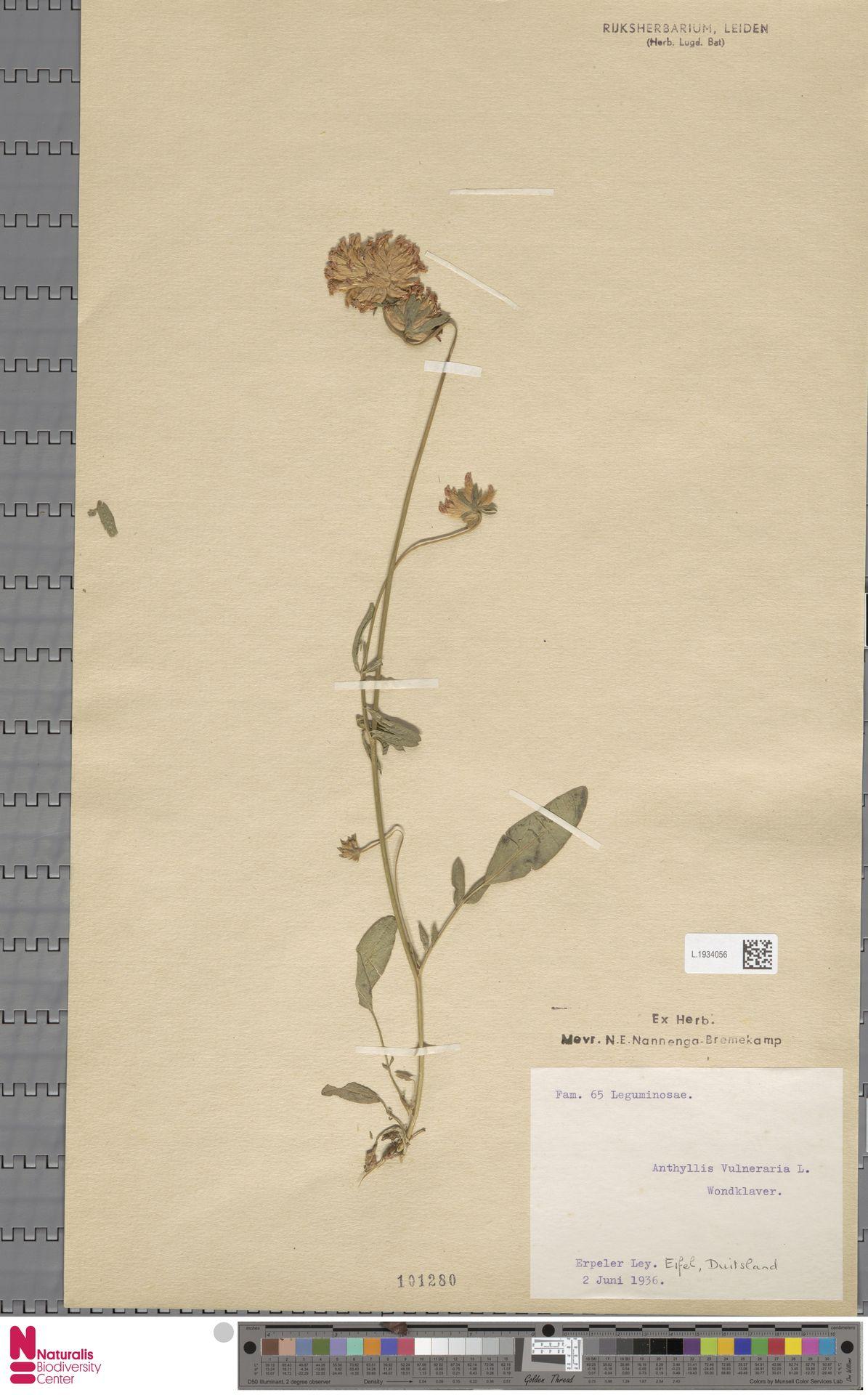 L.1934056 | Anthyllis vulneraria L.