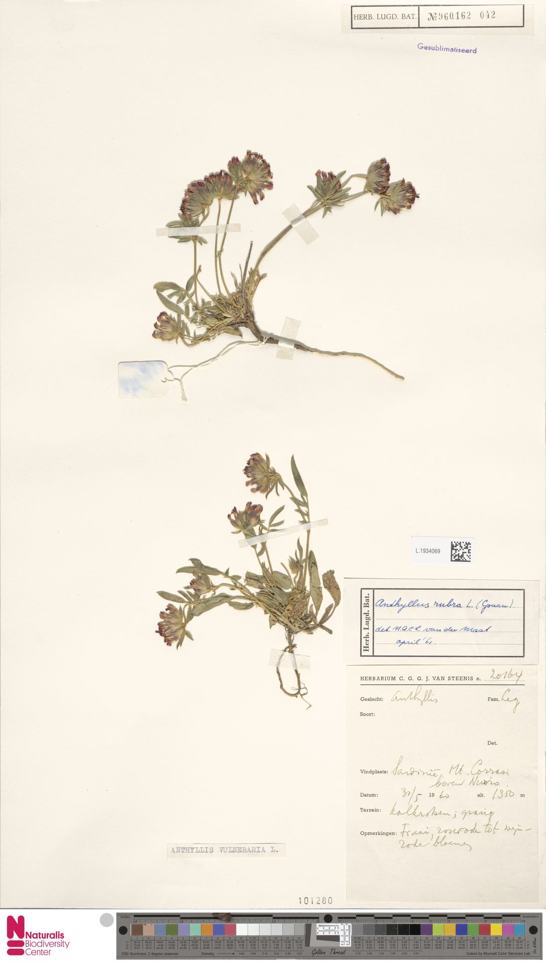 L.1934069 | Anthyllis vulneraria L.