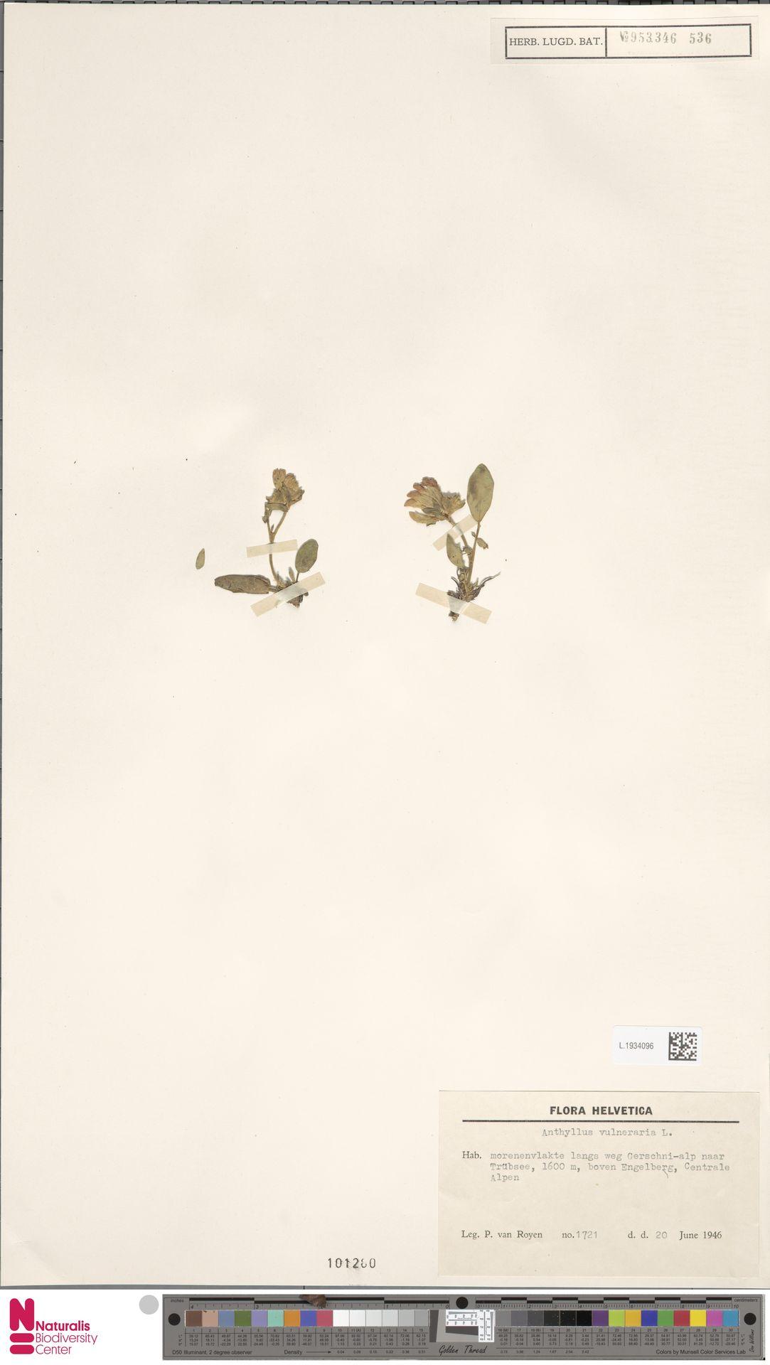 L.1934096 | Anthyllis vulneraria L.
