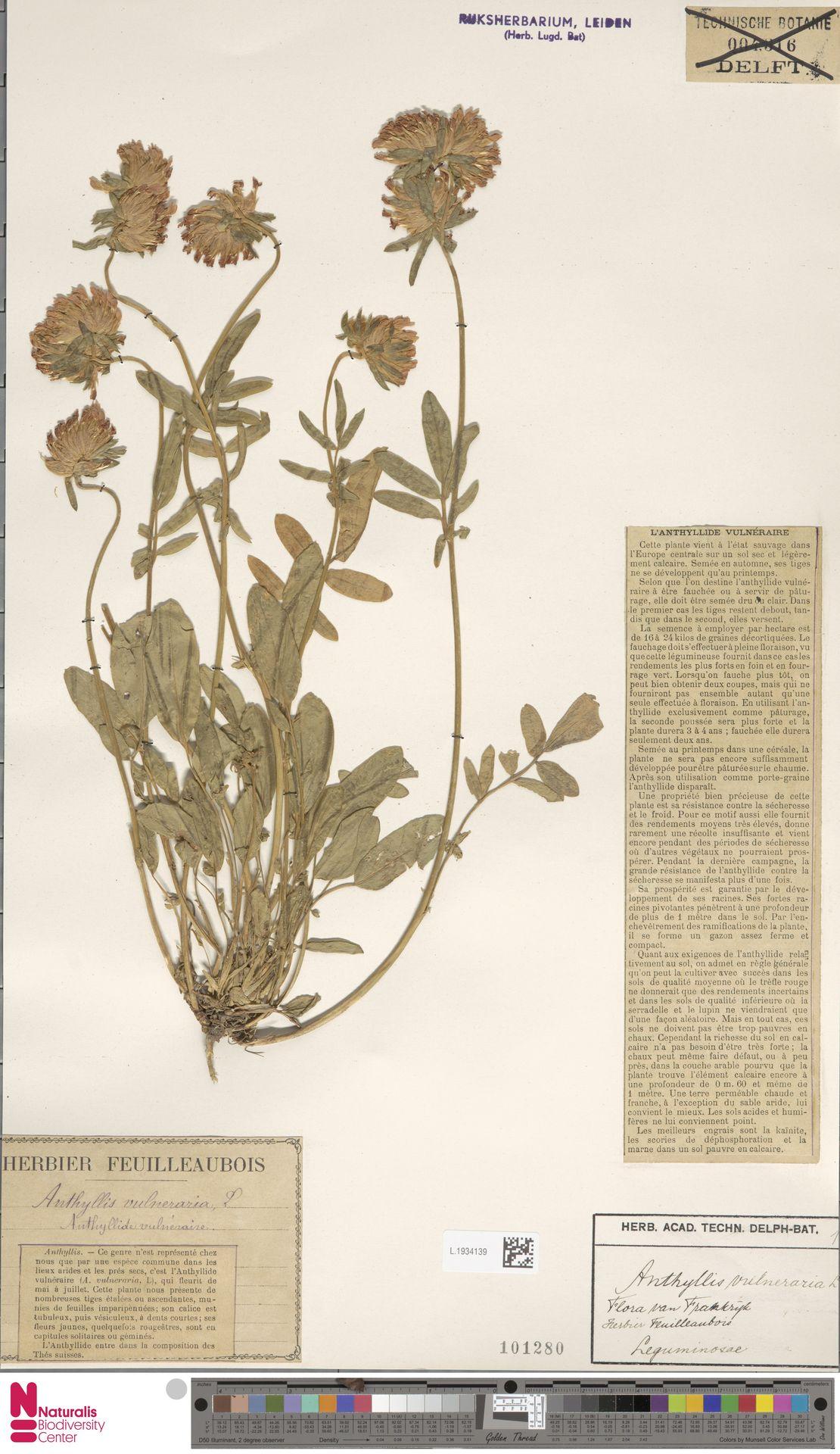 L.1934139 | Anthyllis vulneraria L.