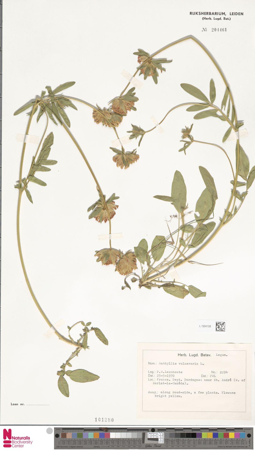 L.1934158 | Anthyllis vulneraria L.
