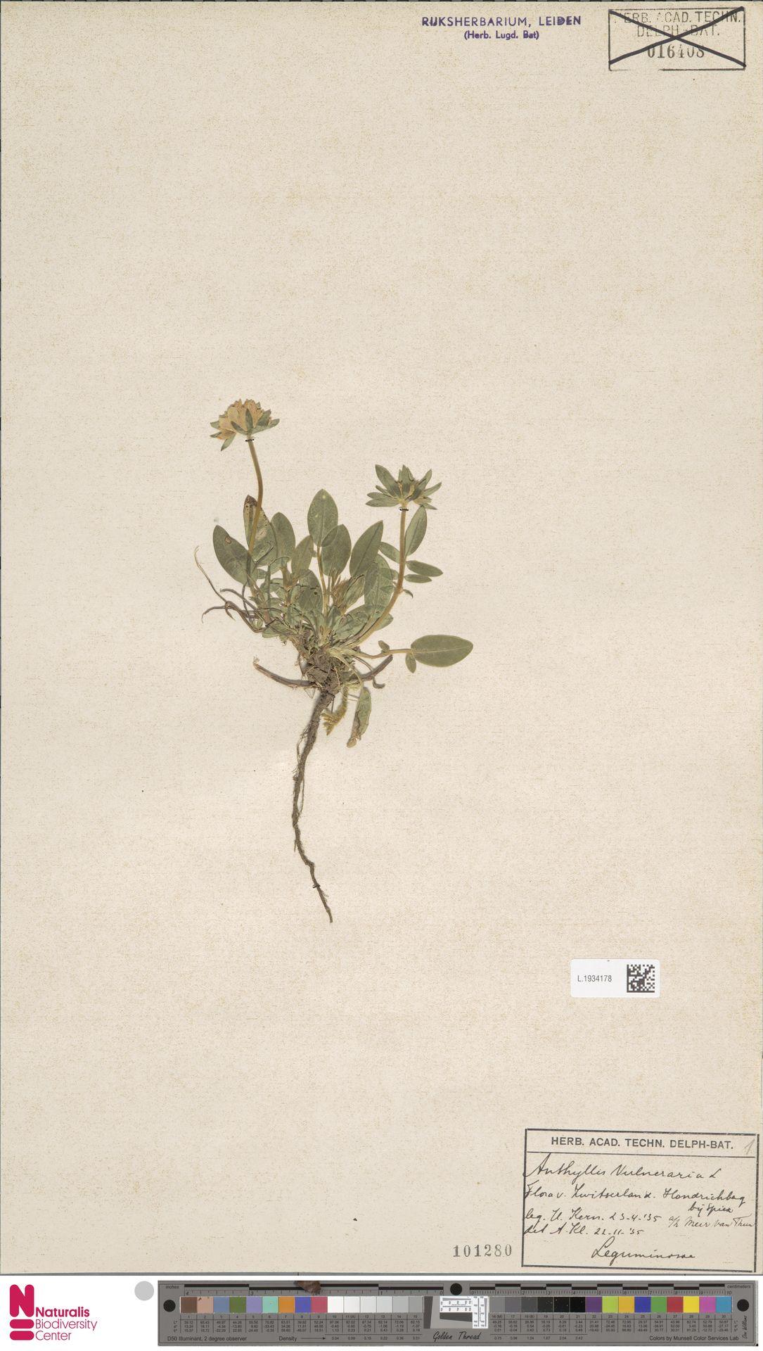 L.1934178 | Anthyllis vulneraria L.