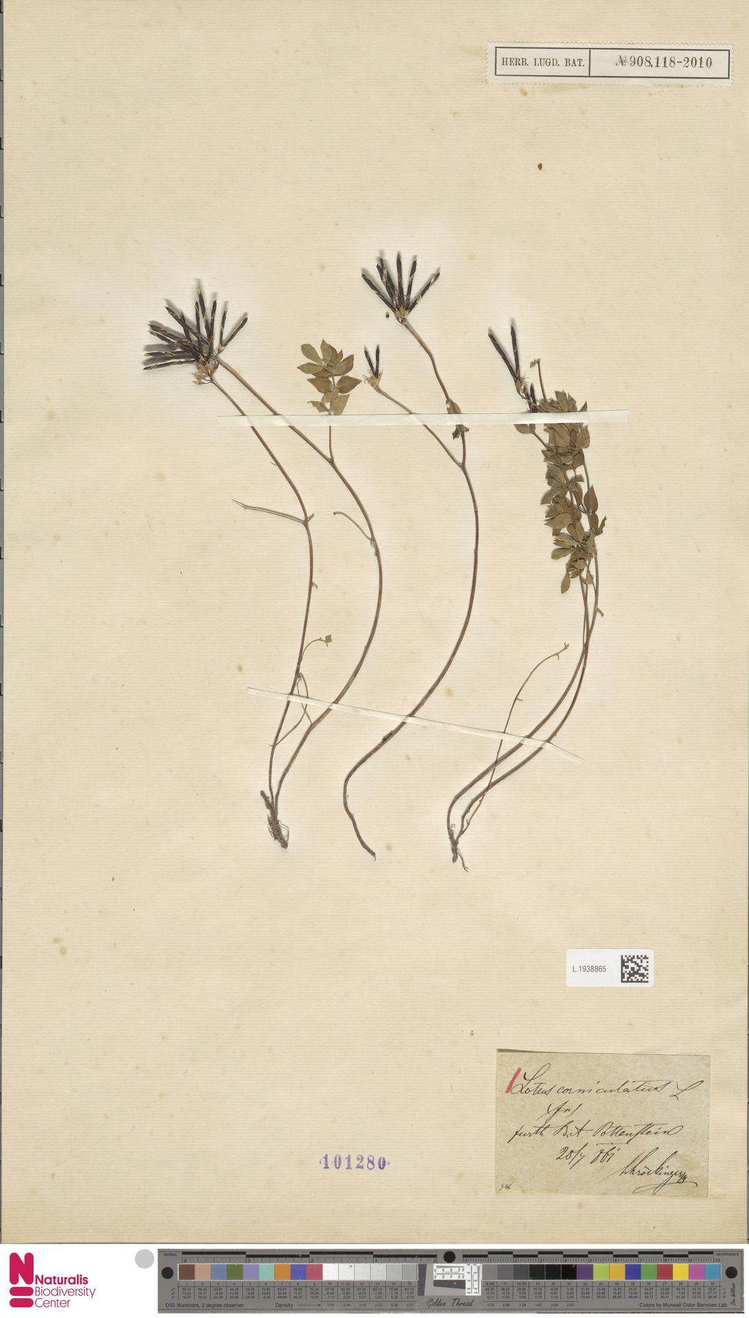 L.1938865 | Lotus corniculatus L.