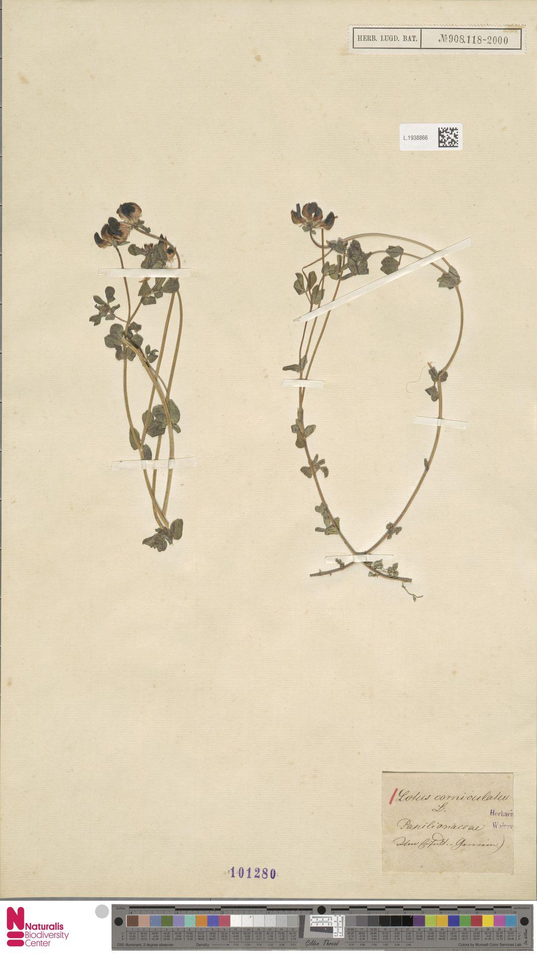 L.1938866 | Lotus corniculatus L.