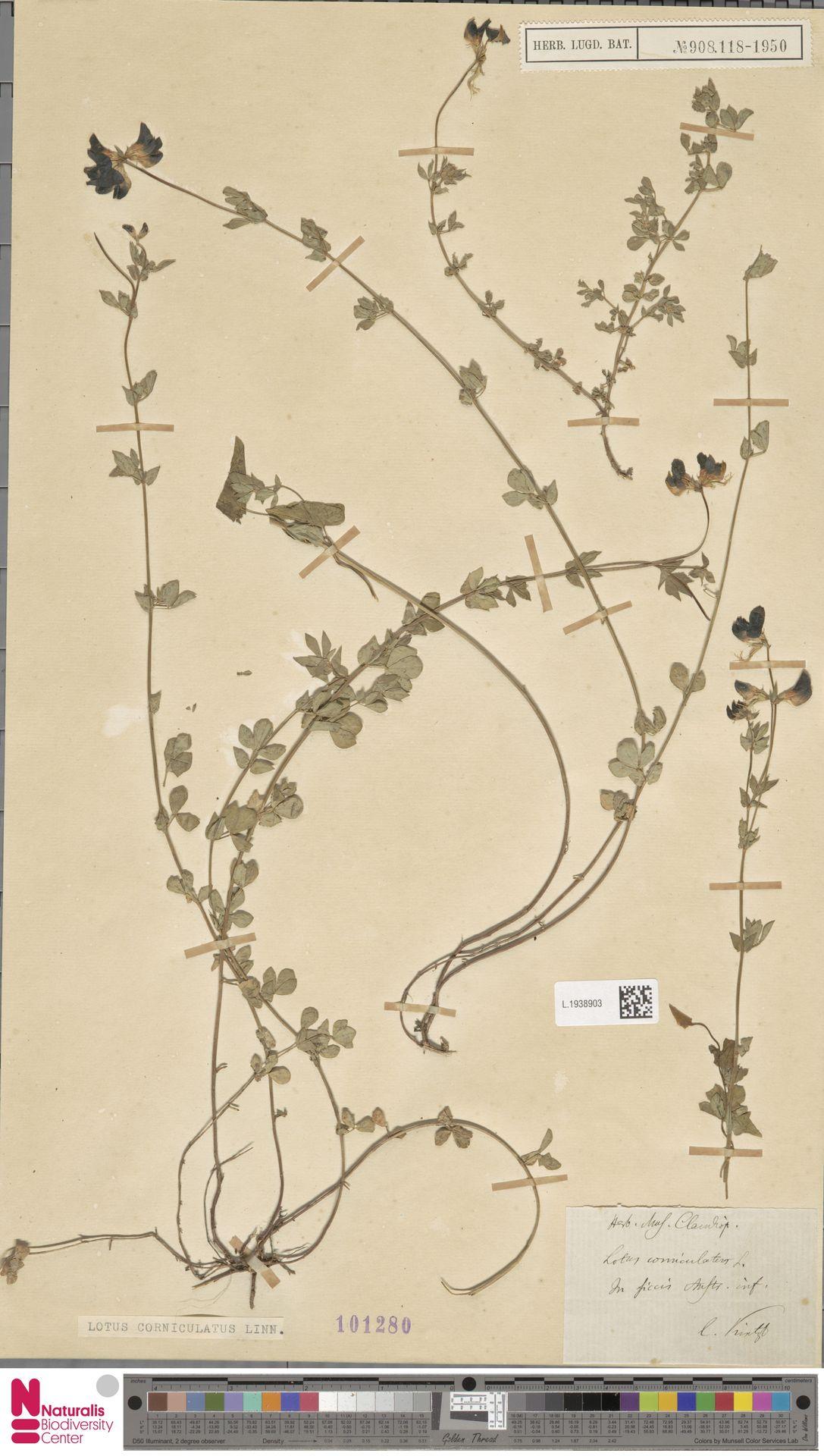 L.1938903 | Lotus corniculatus L.