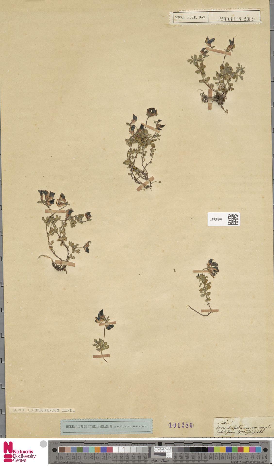 L.1938907 | Lotus corniculatus L.