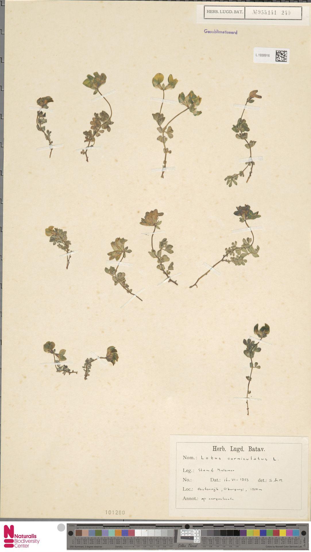 L.1938916 | Lotus corniculatus L.