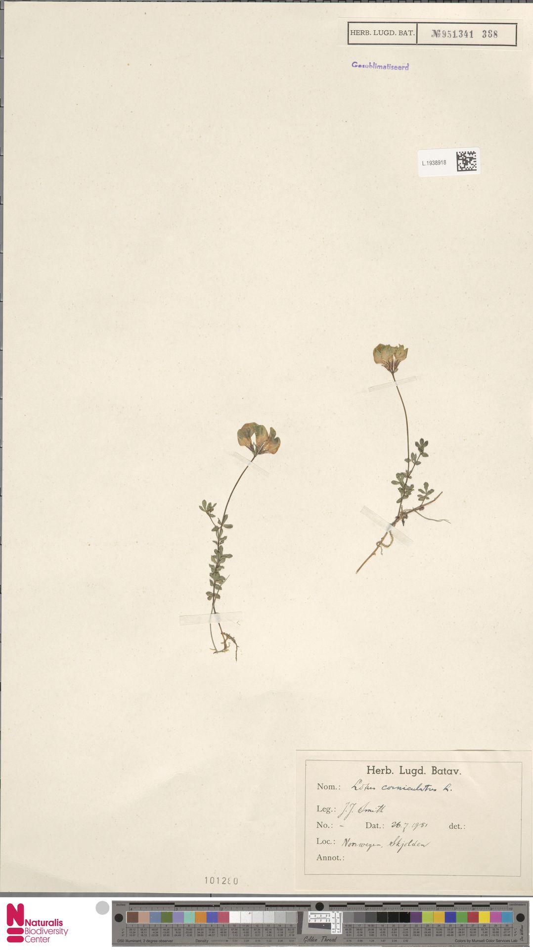 L.1938918 | Lotus corniculatus L.