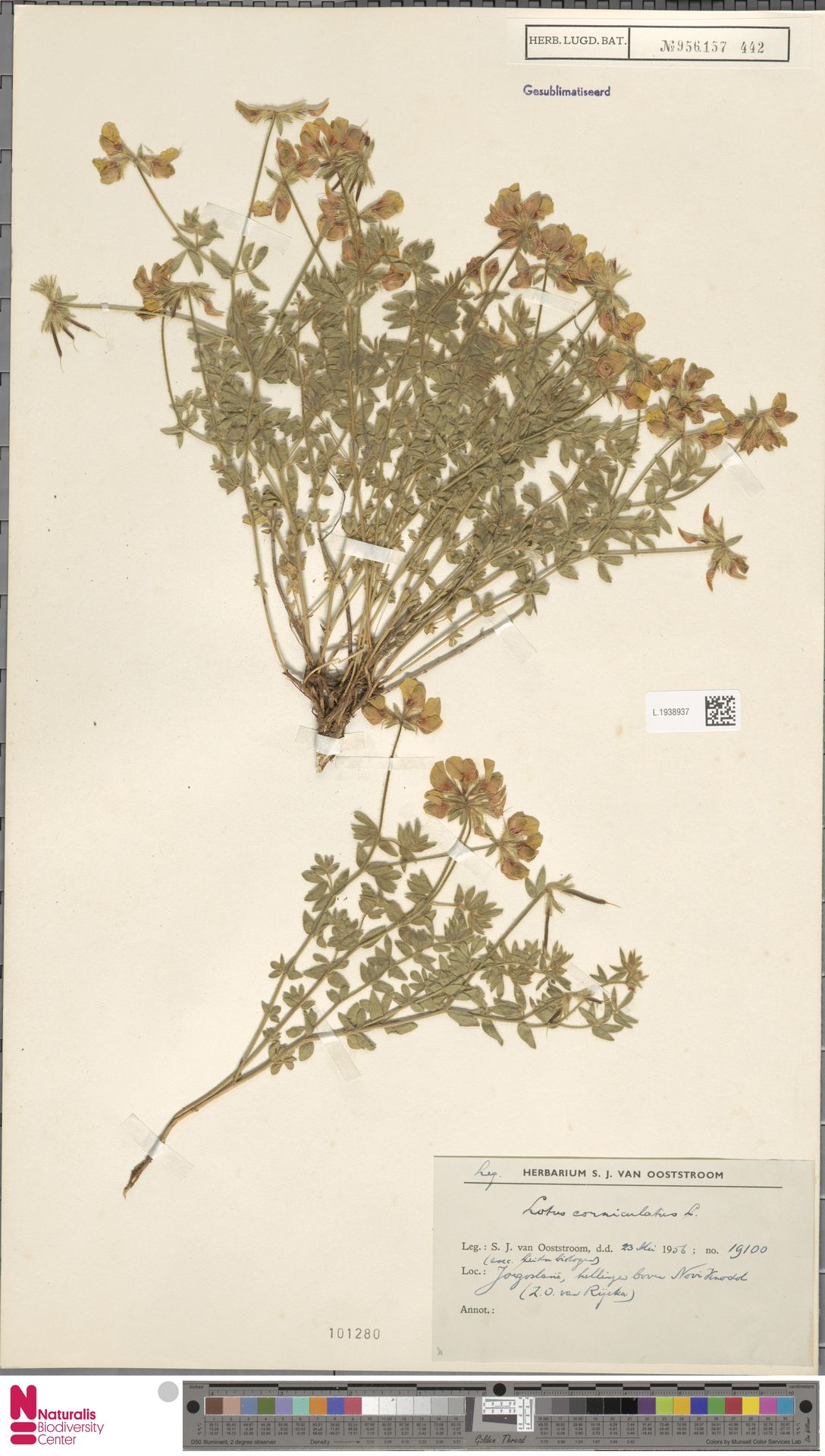 L.1938937 | Lotus corniculatus L.