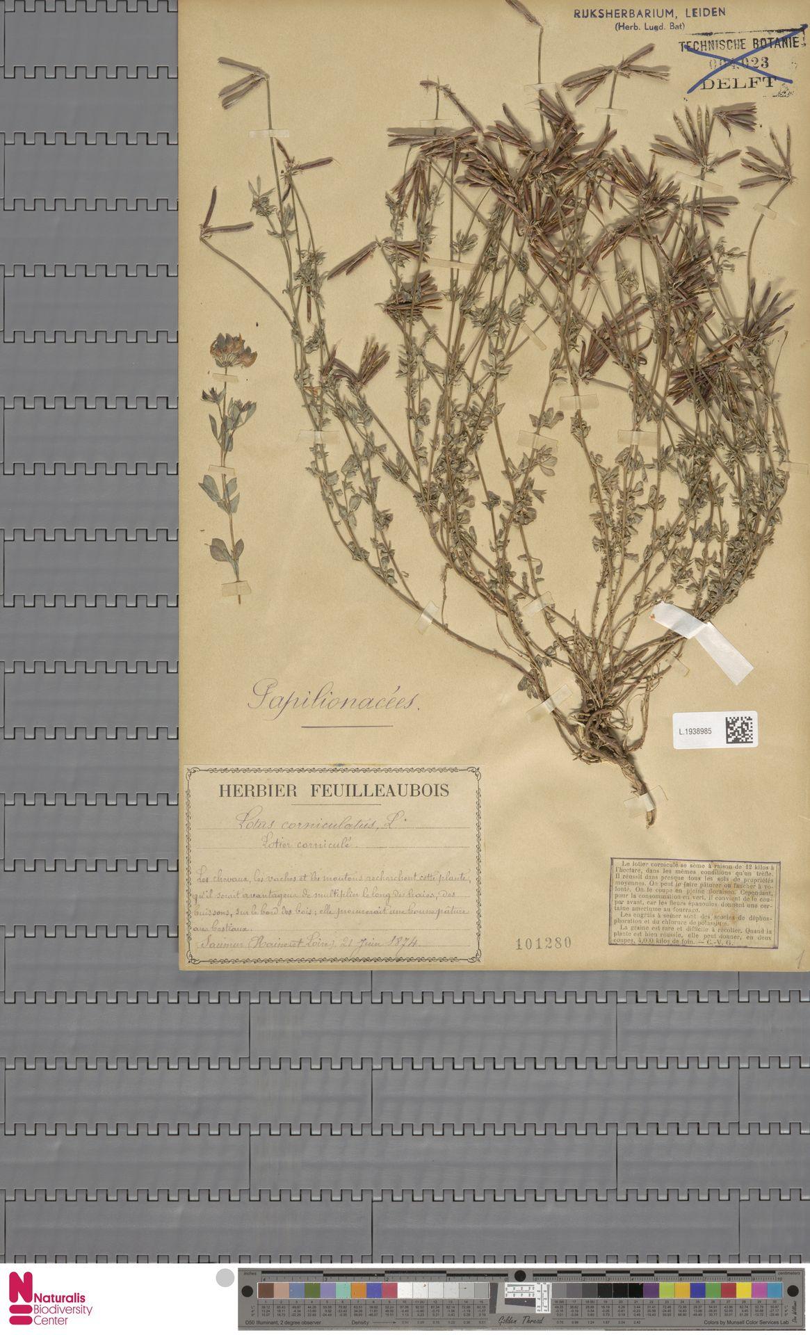 L.1938985 | Lotus corniculatus L.