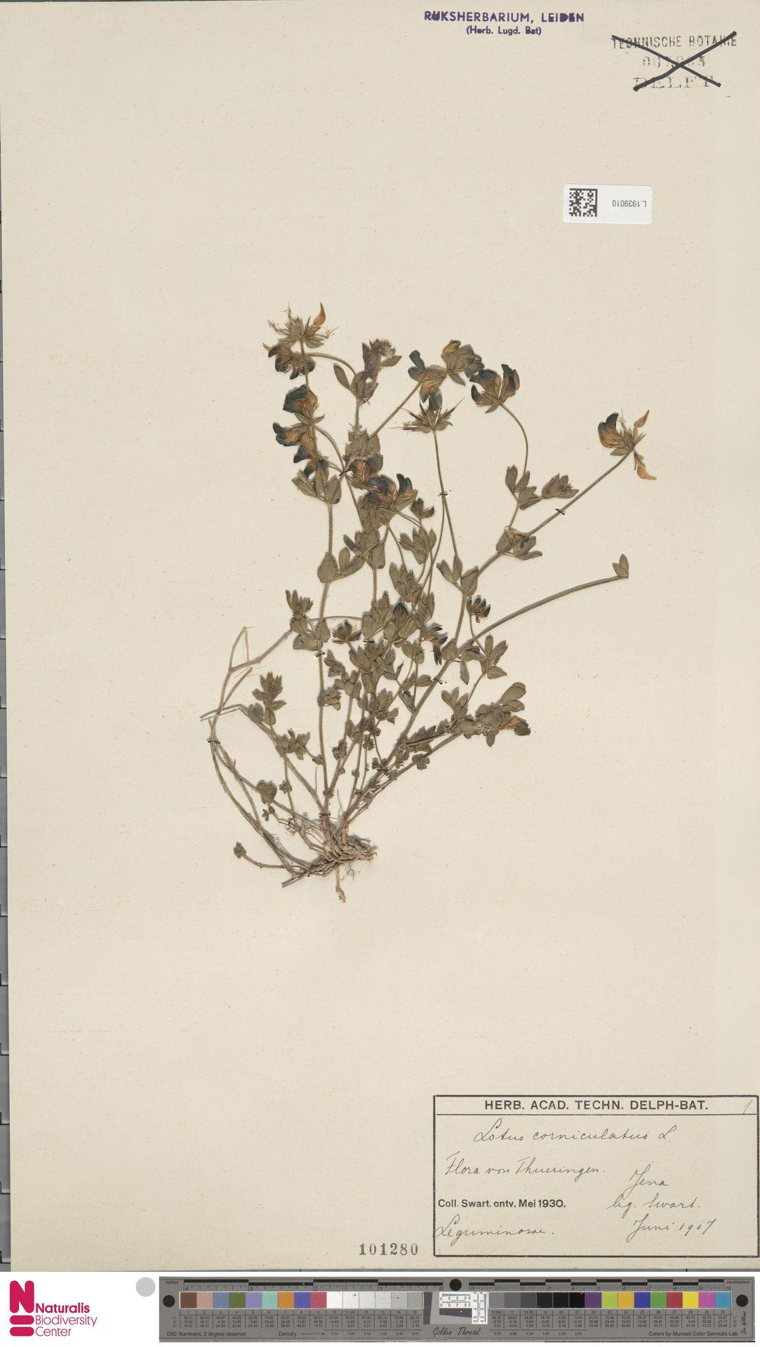 L.1939010 | Lotus corniculatus L.