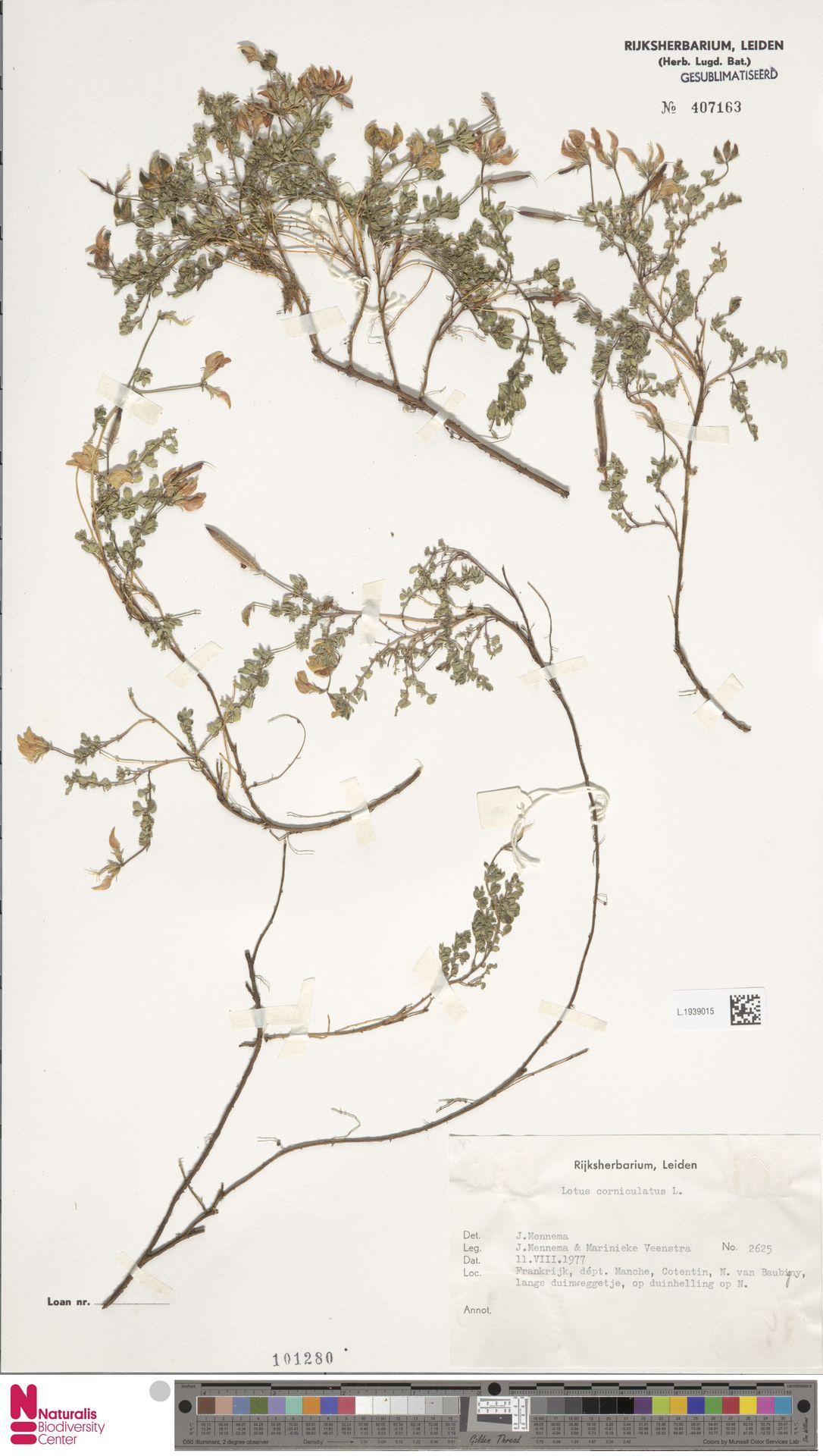 L.1939015 | Lotus corniculatus L.