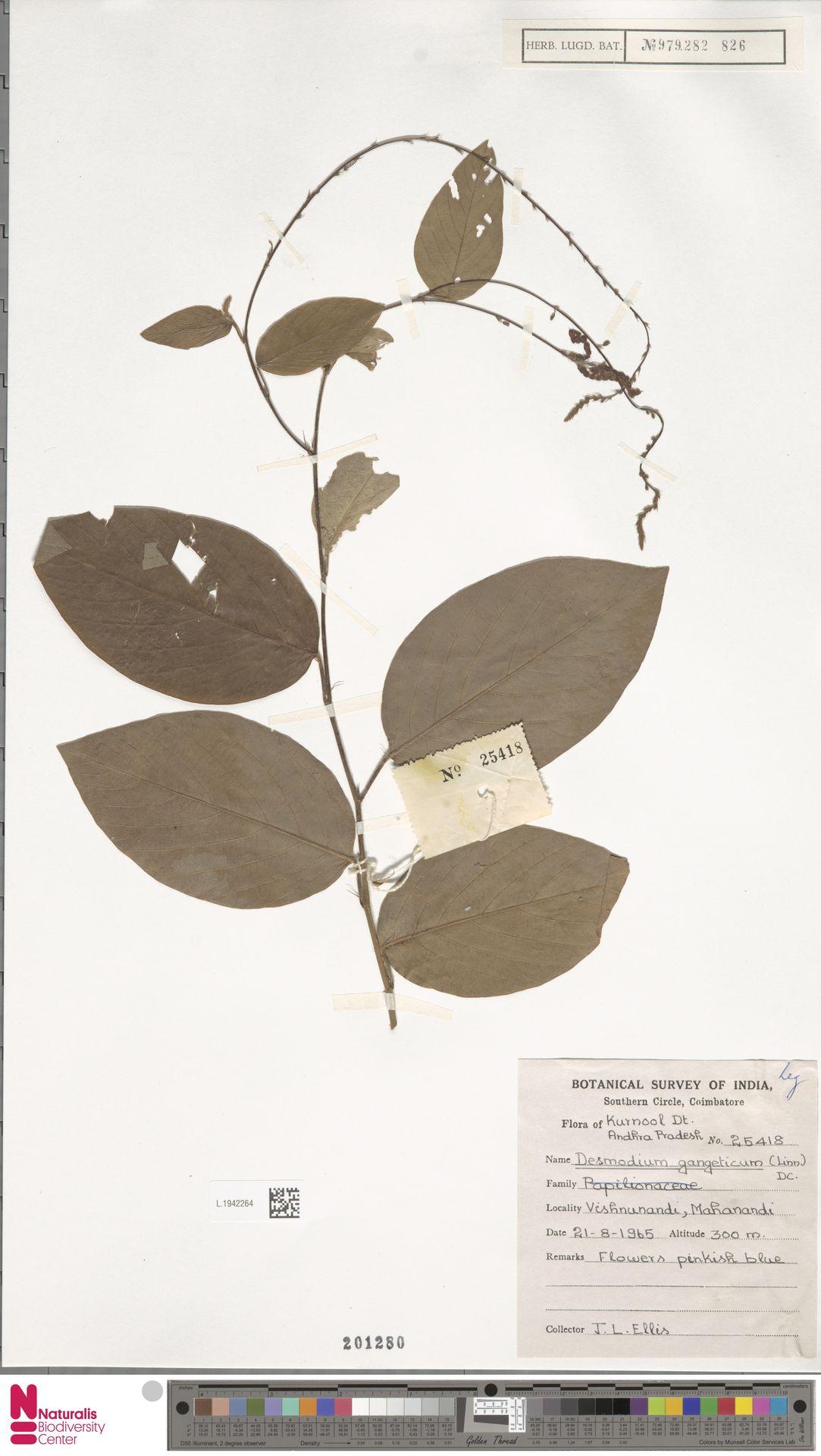 L.1942264   Desmodium gangeticum (L.) DC.