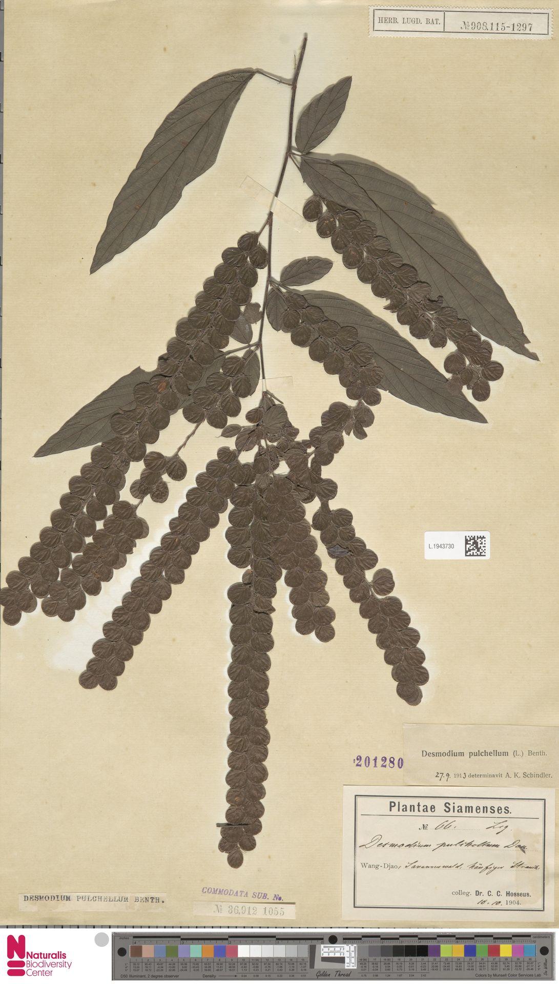 L.1943730 | Phyllodium pulchellum (L.) Desv.