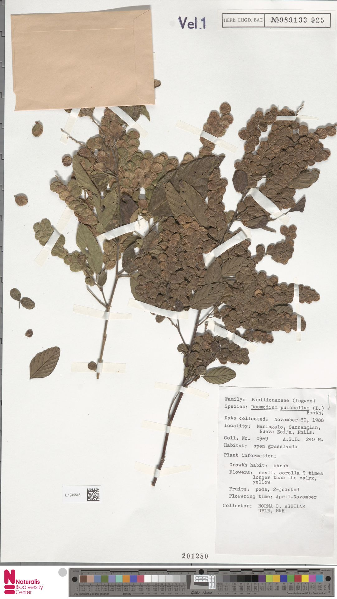 L.1945546 | Phyllodium pulchellum (L.) Desv.