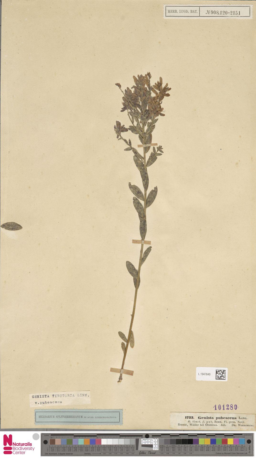 L.1947640 | Genista tinctoria L.