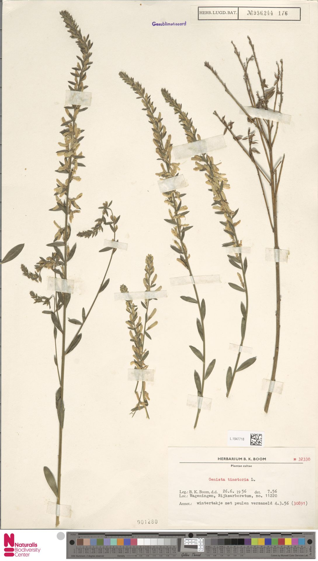 L.1947718 | Genista tinctoria L.