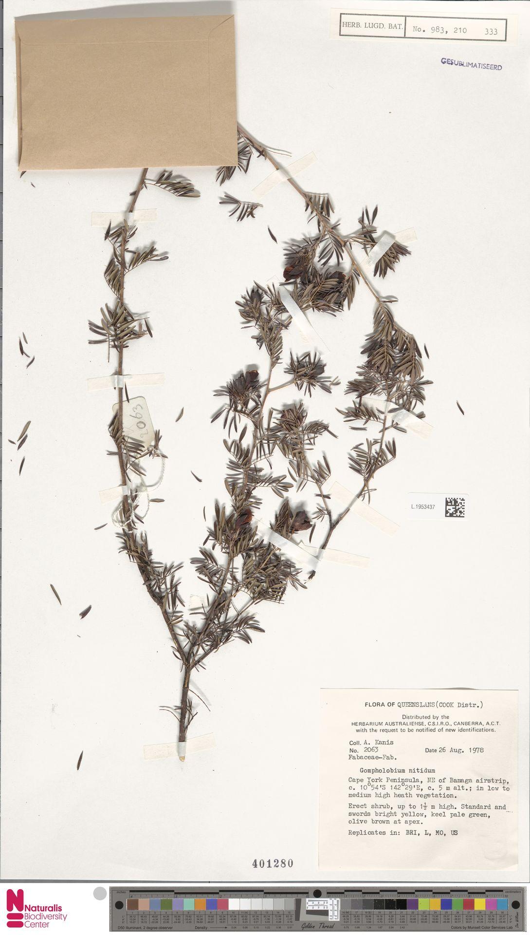 L.1953437 | Gompholobium nitidum Sol. ex Benth.