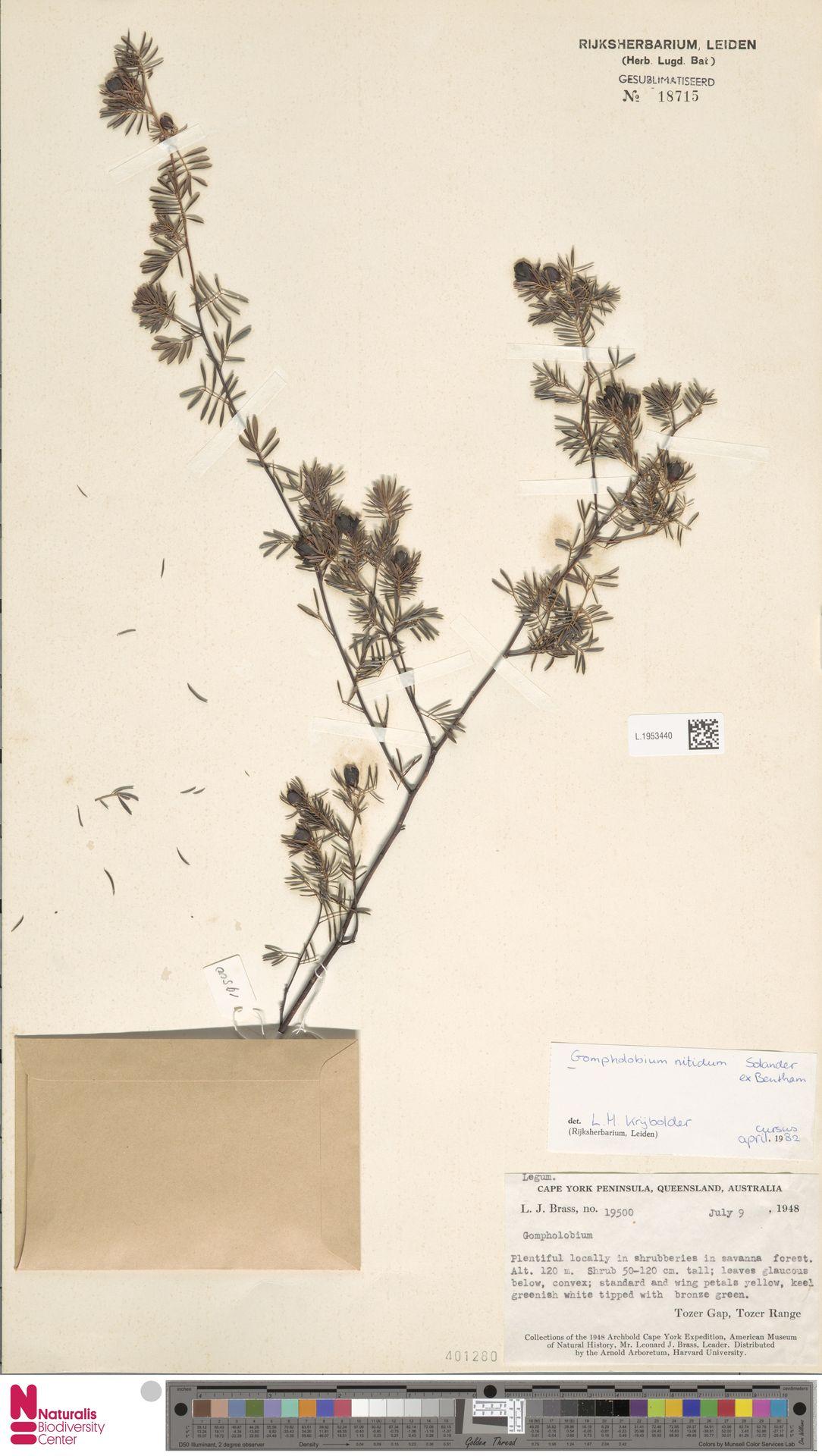 L.1953440 | Gompholobium nitidum Sol. ex Benth.