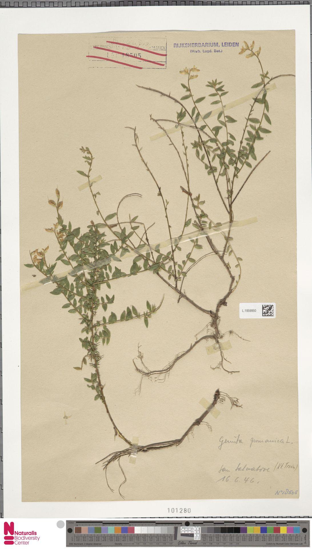 L.1959950 | Genista germanica L.