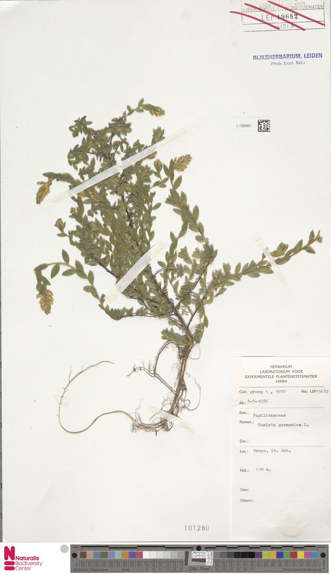 L.1959951 | Genista germanica L.