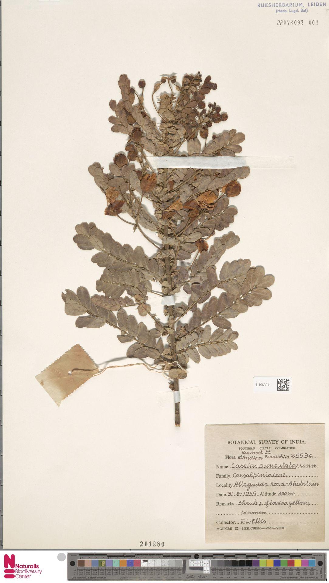 L.1963911   Cassia auriculata L.