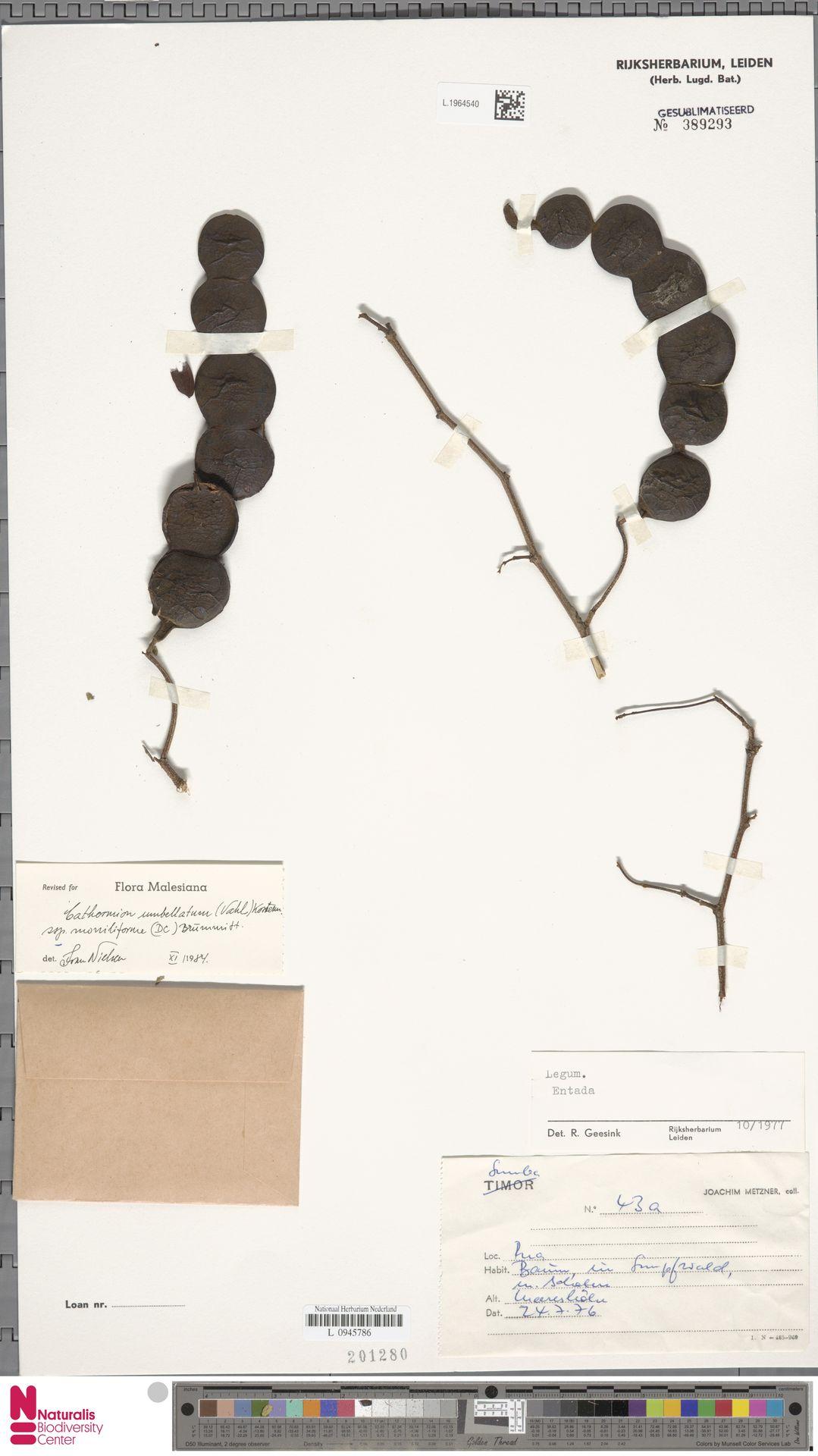 L.1964540 | Cathormion umbellatum subsp. moniliforme (DC.) Brummitt