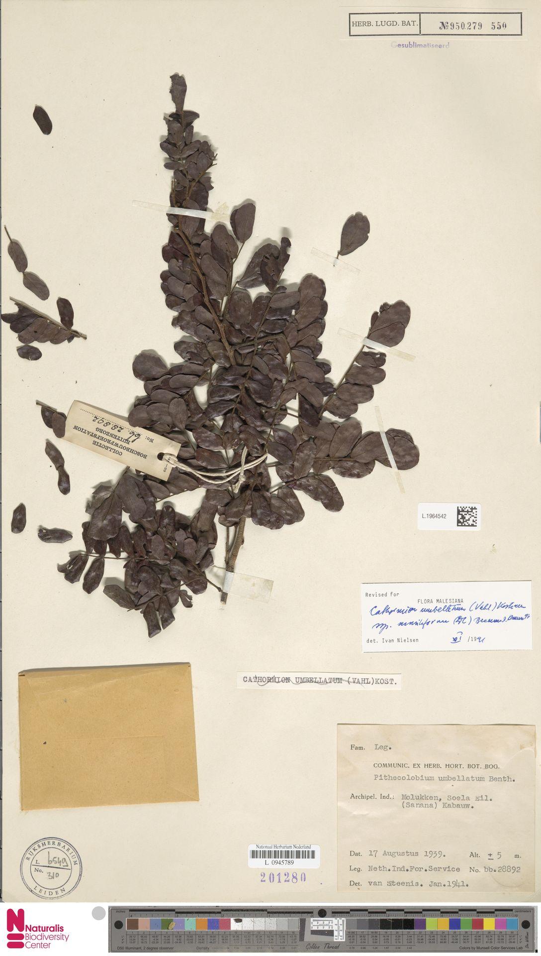 L.1964542 | Cathormion umbellatum subsp. moniliforme (DC.) Brummitt