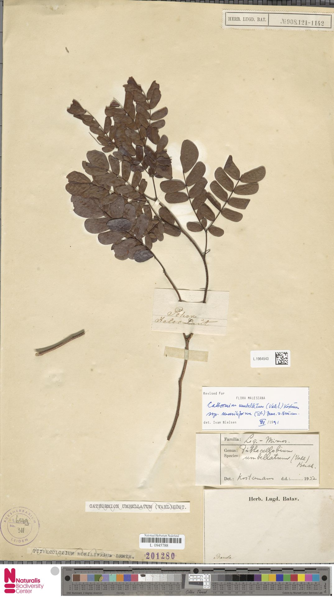 L.1964543 | Cathormion umbellatum subsp. moniliforme (DC.) Brummitt