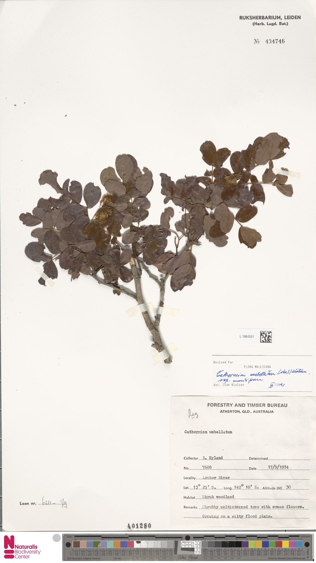 L.1964551 | Cathormion umbellatum subsp. moniliforme (DC.) Brummitt