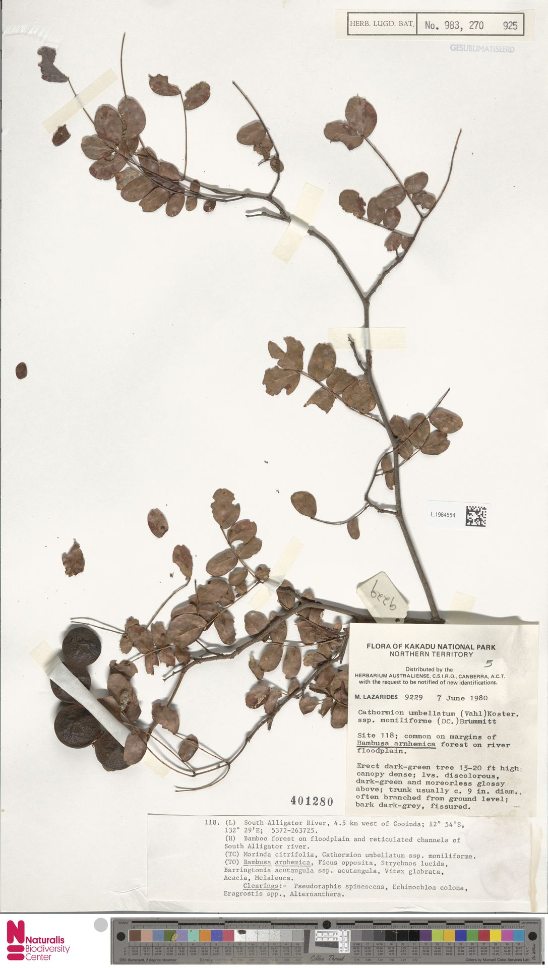 L.1964554 | Cathormion umbellatum subsp. moniliforme (DC.) Brummitt