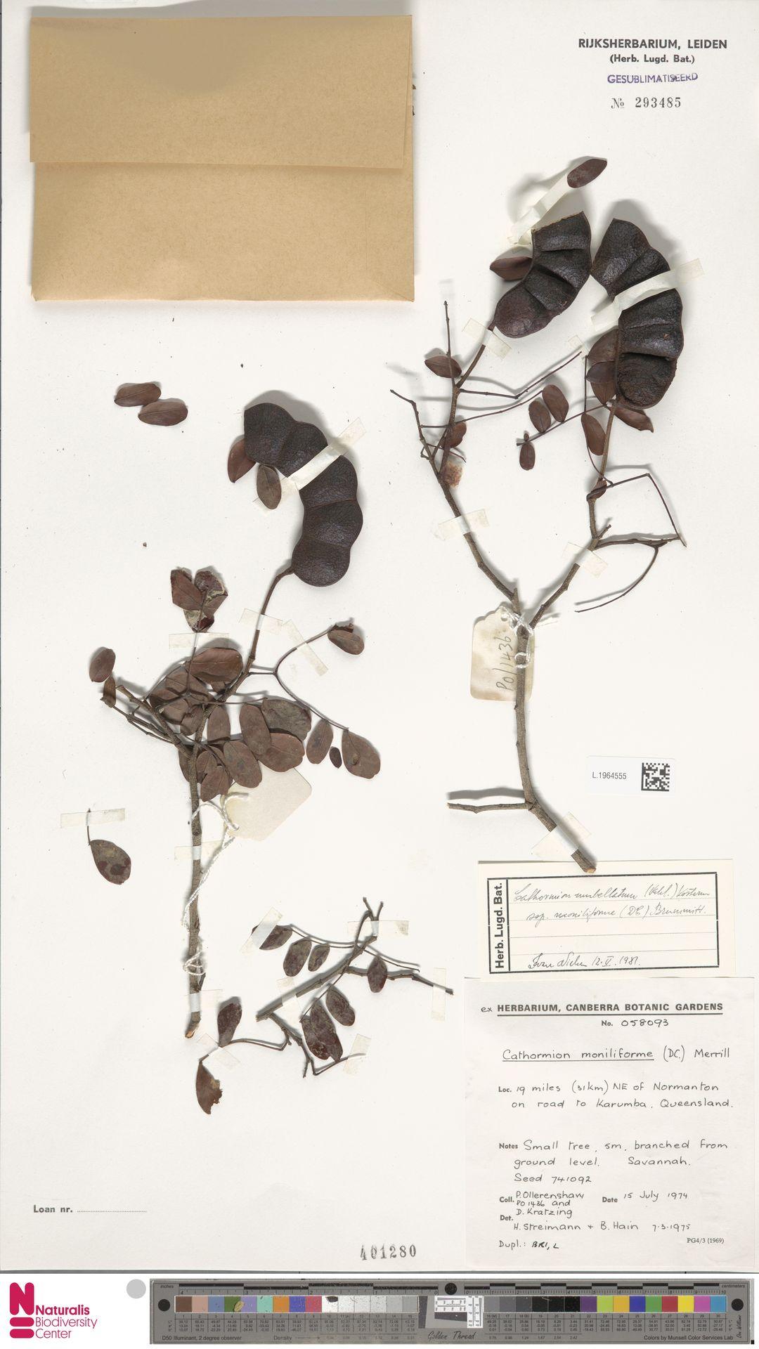 L.1964555   Cathormion umbellatum subsp. moniliforme (DC.) Brummitt
