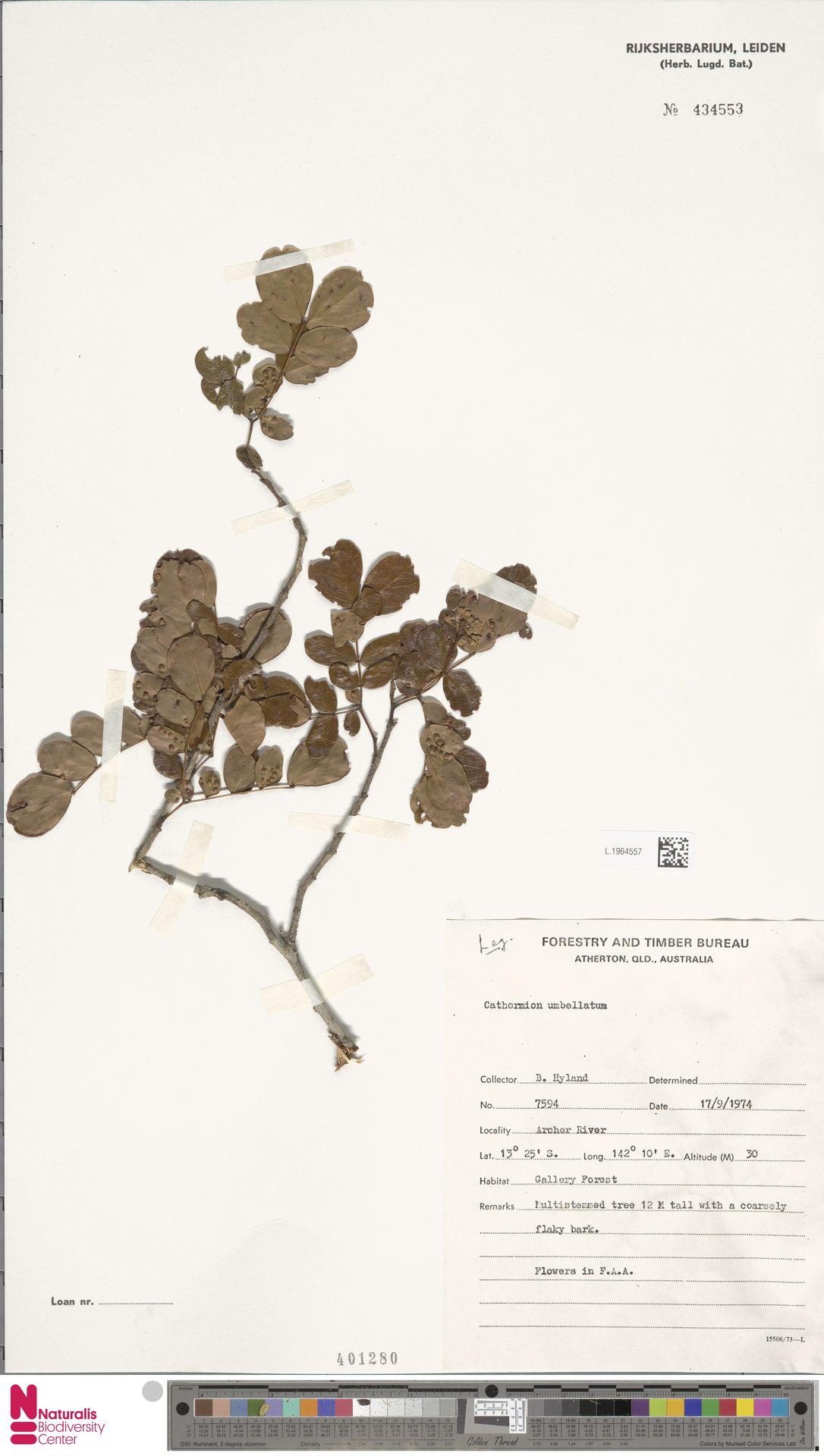 L.1964557 | Cathormion umbellatum (Vahl) Kosterm.