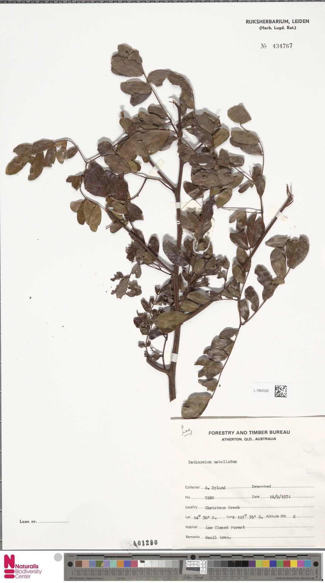 L.1964558 | Cathormion umbellatum (Vahl) Kosterm.