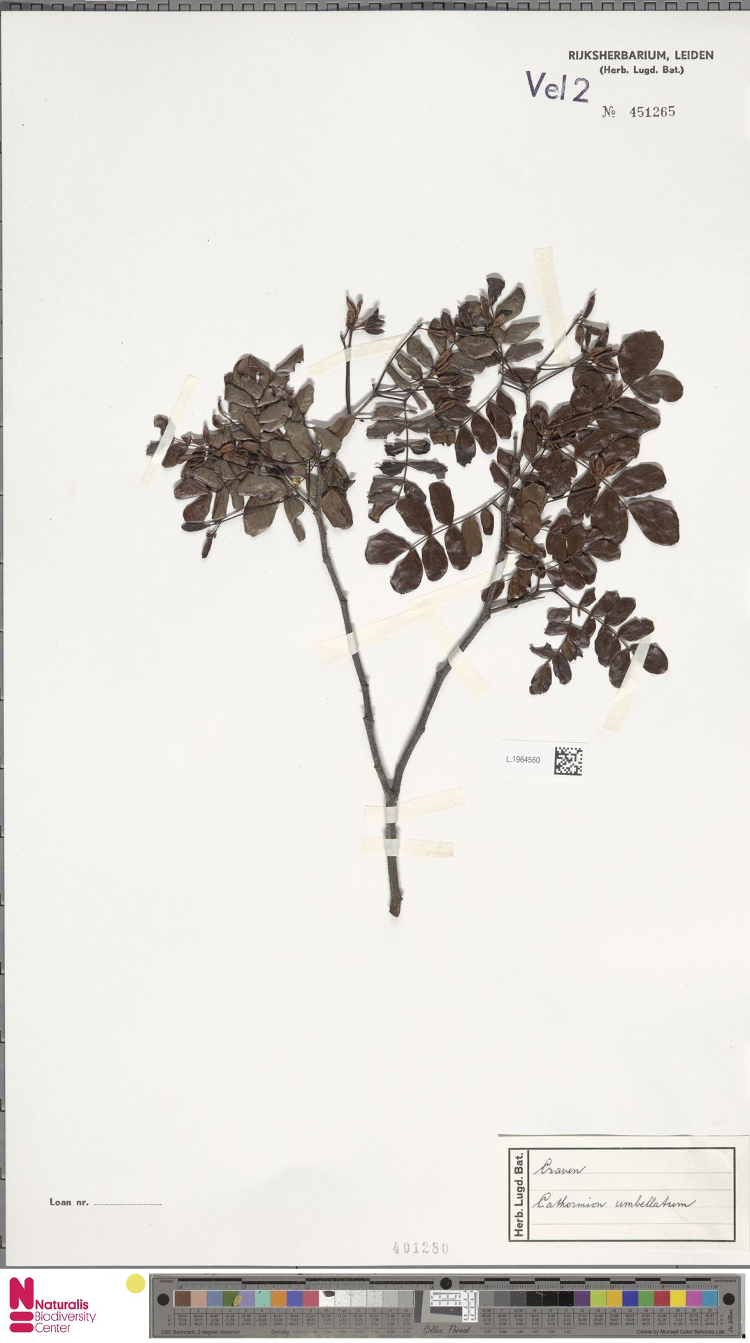 L.1964560 | Cathormion umbellatum (Vahl) Kosterm.