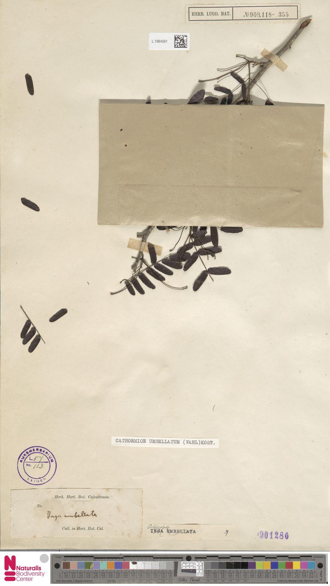 L.1964561 | Cathormion umbellatum (Vahl) Kosterm.