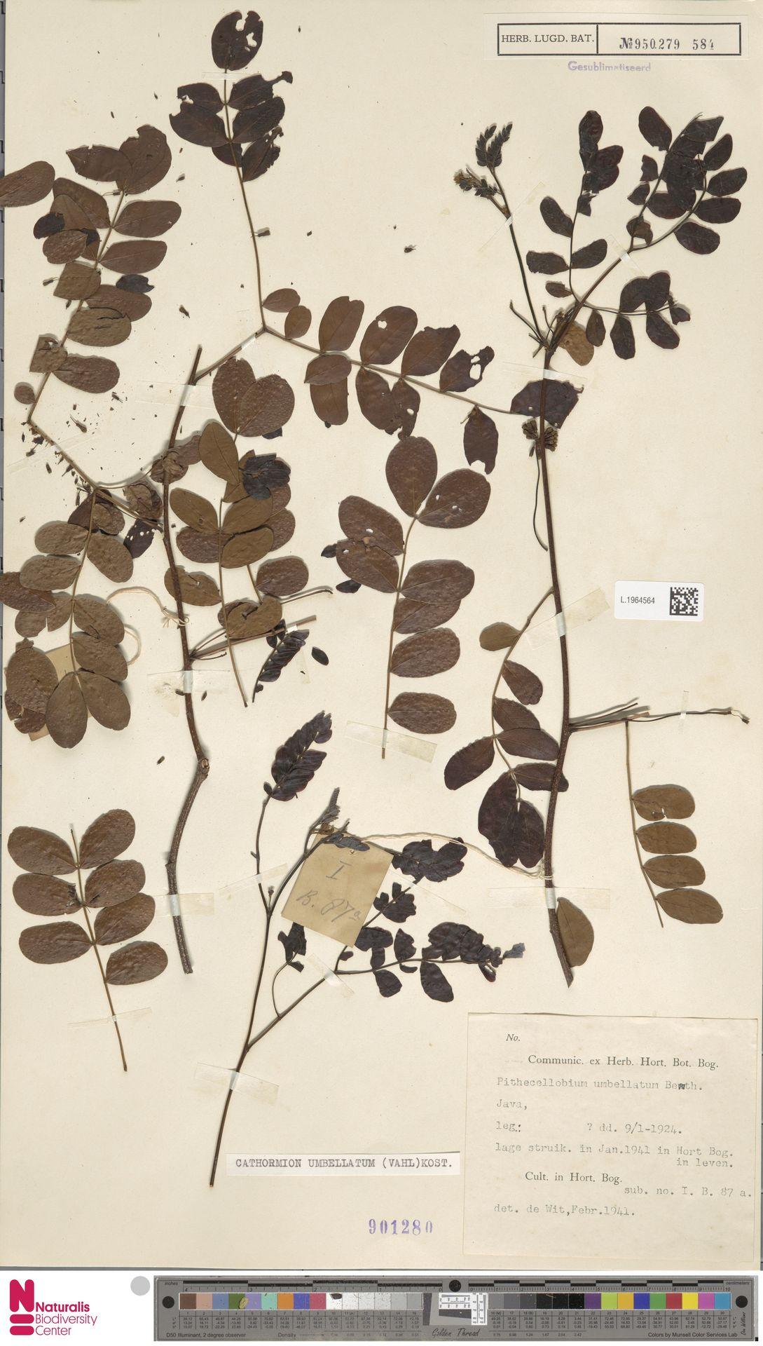 L.1964564 | Cathormion umbellatum (Vahl) Kosterm.