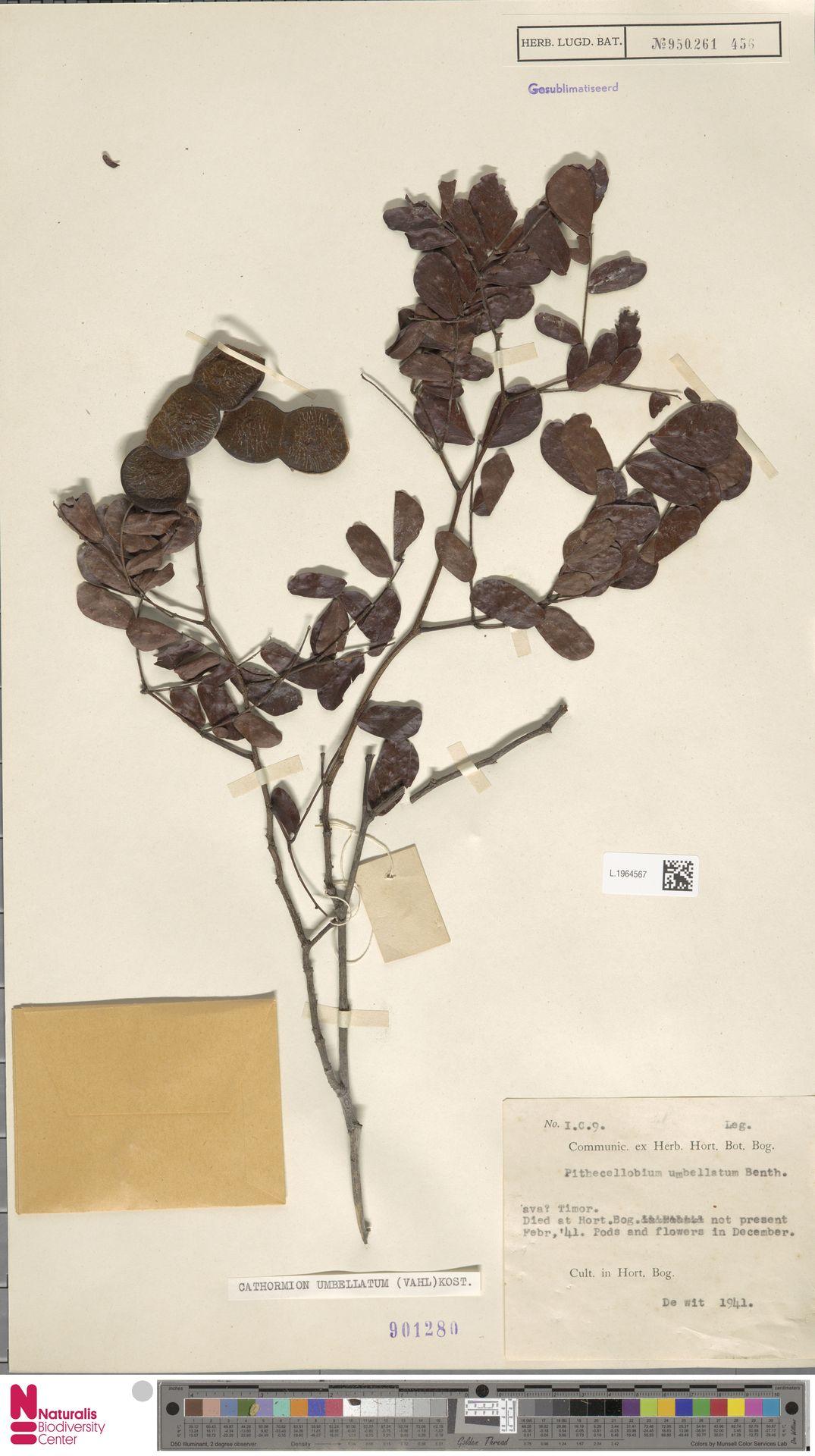 L.1964567 | Cathormion umbellatum (Vahl) Kosterm.