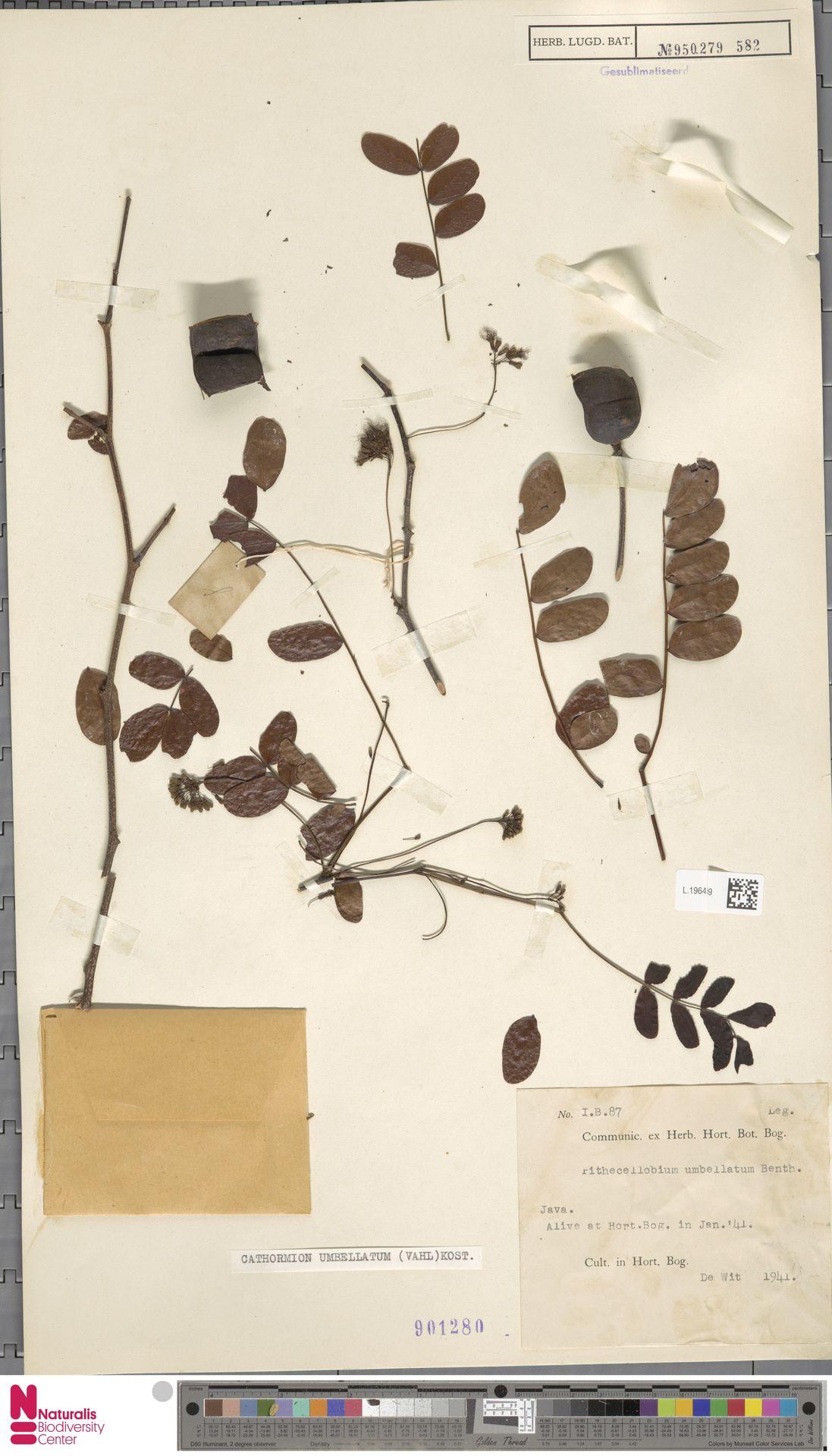 L.1964569   Cathormion umbellatum (Vahl) Kosterm.
