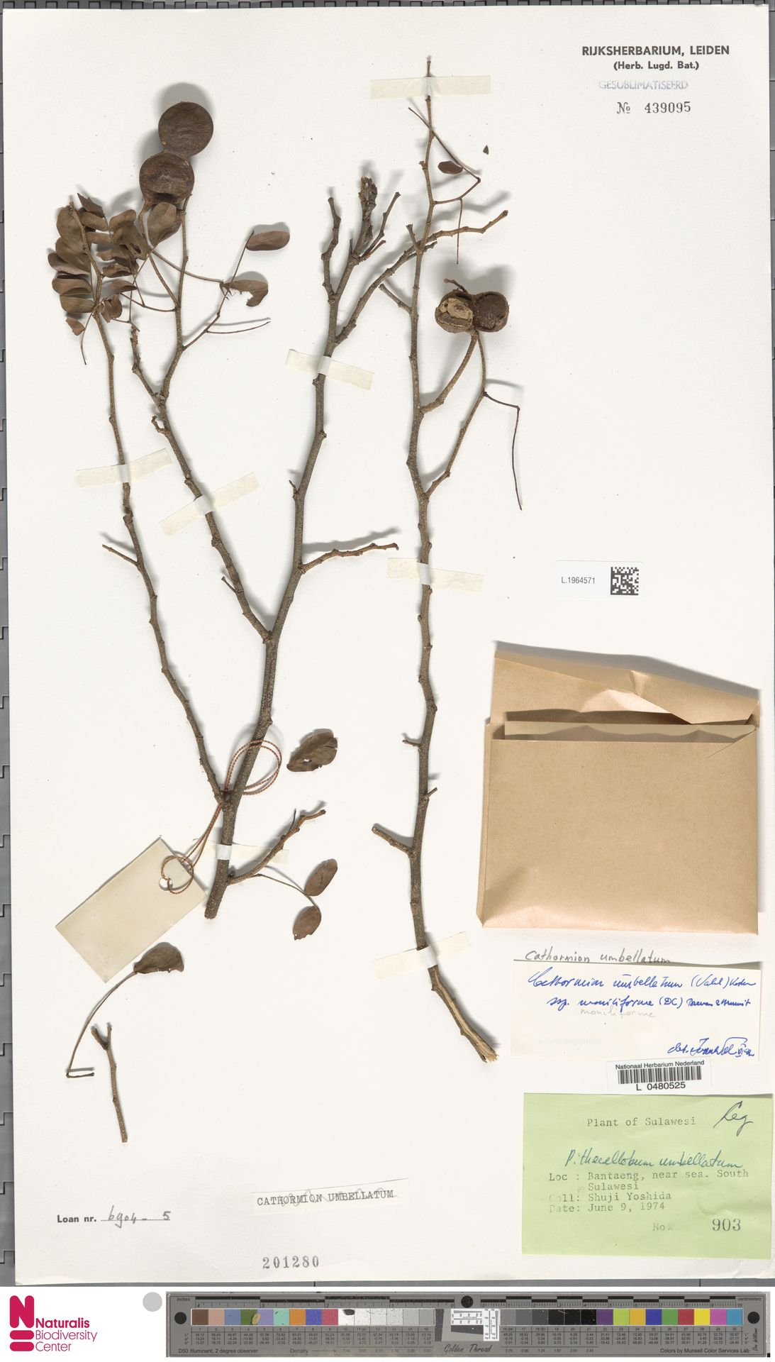 L.1964571 | Cathormion umbellatum subsp. moniliforme (DC.) Brummitt