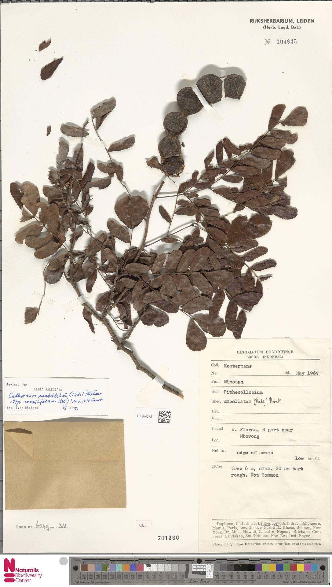 L.1964572 | Cathormion umbellatum subsp. moniliforme (DC.) Brummitt