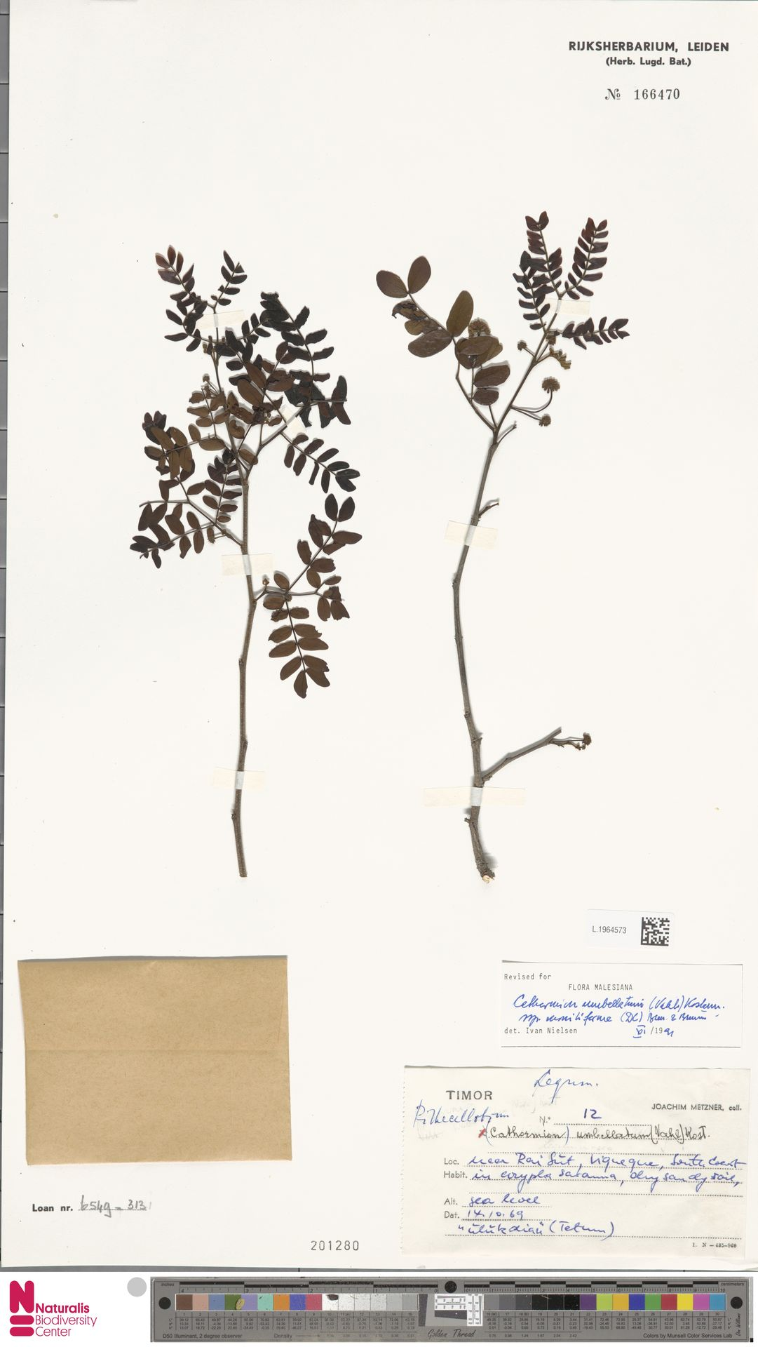 L.1964573 | Cathormion umbellatum subsp. moniliforme (DC.) Brummitt