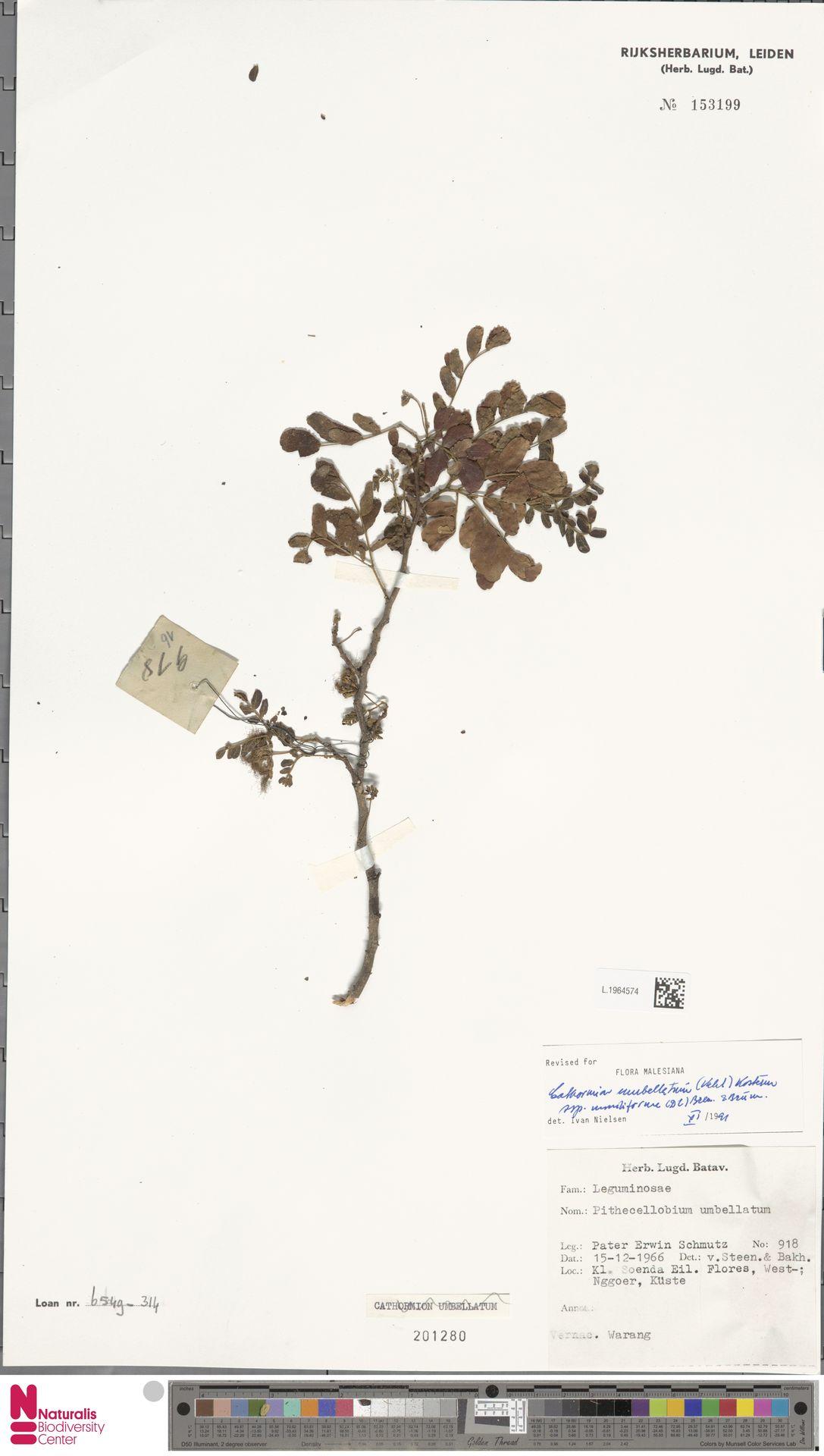 L.1964574 | Cathormion umbellatum subsp. moniliforme (DC.) Brummitt