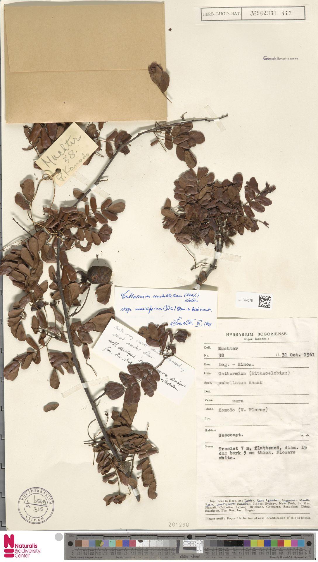 L.1964575 | Cathormion umbellatum subsp. moniliforme (DC.) Brummitt