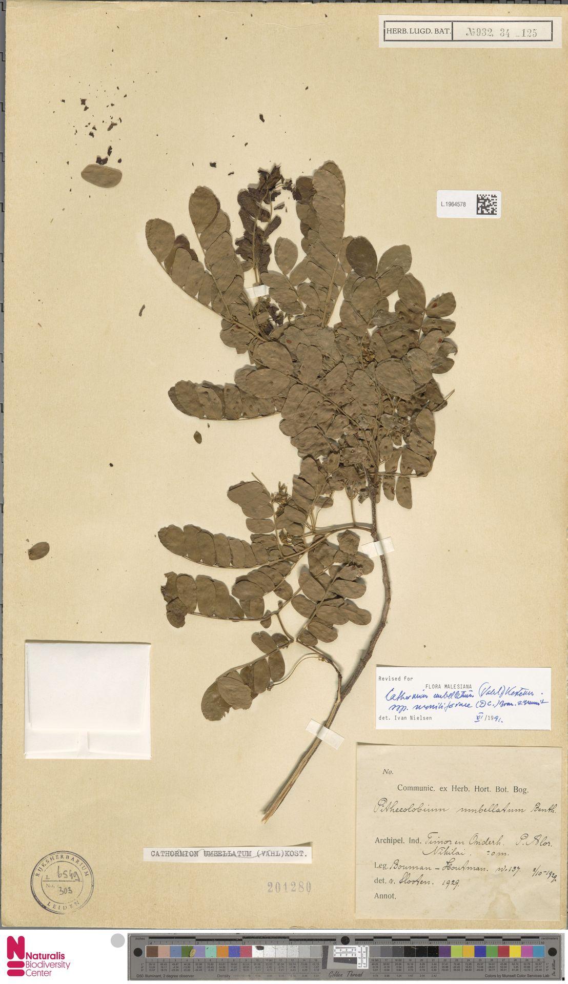 L.1964578   Cathormion umbellatum subsp. moniliforme (DC.) Brummitt